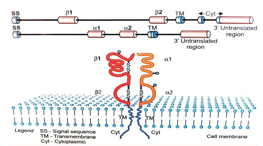 HLA-molekula II. třídy