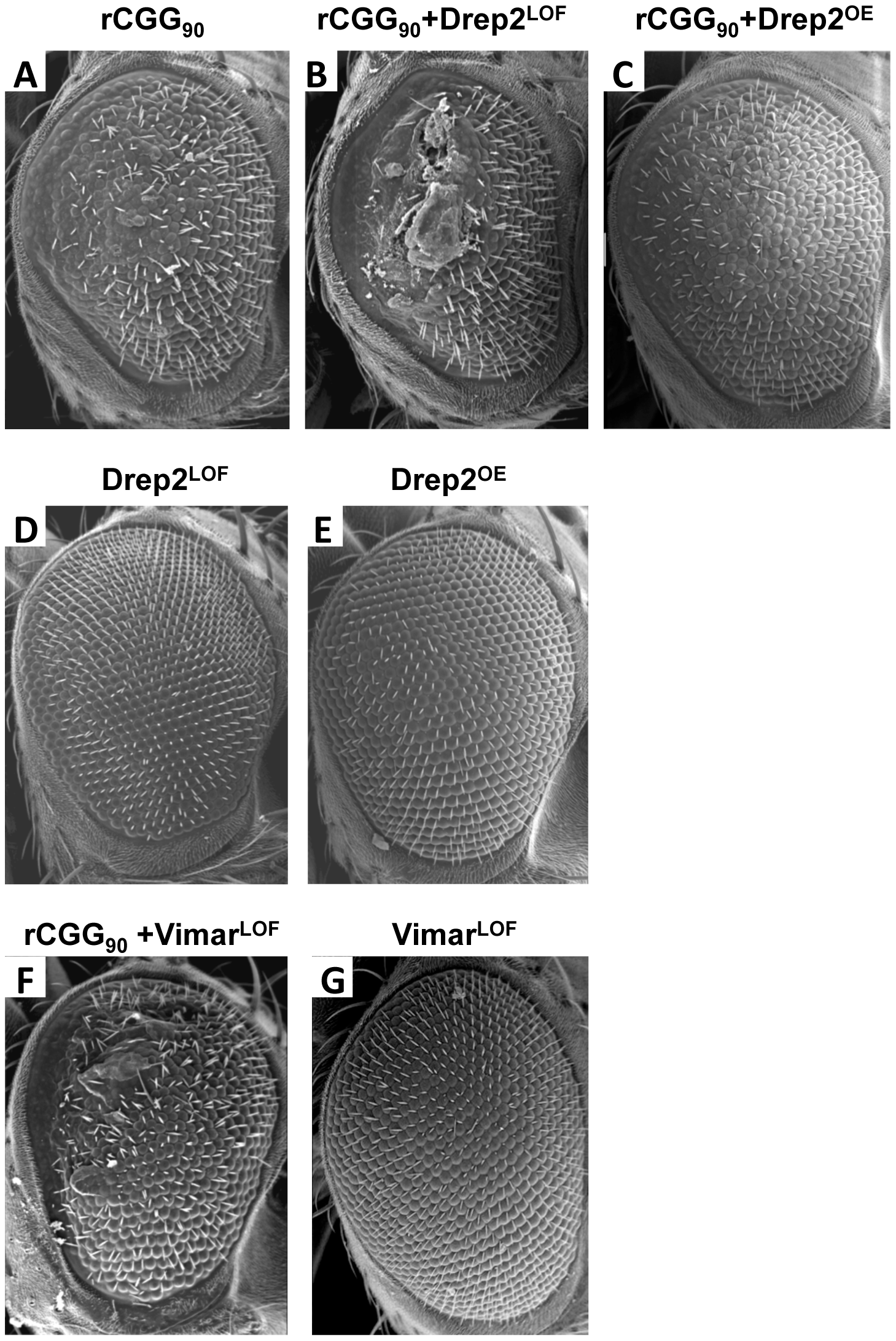Modification of rCGG-mediated neurodegenerative eye phenotype by Drep-2 and Vimar.
