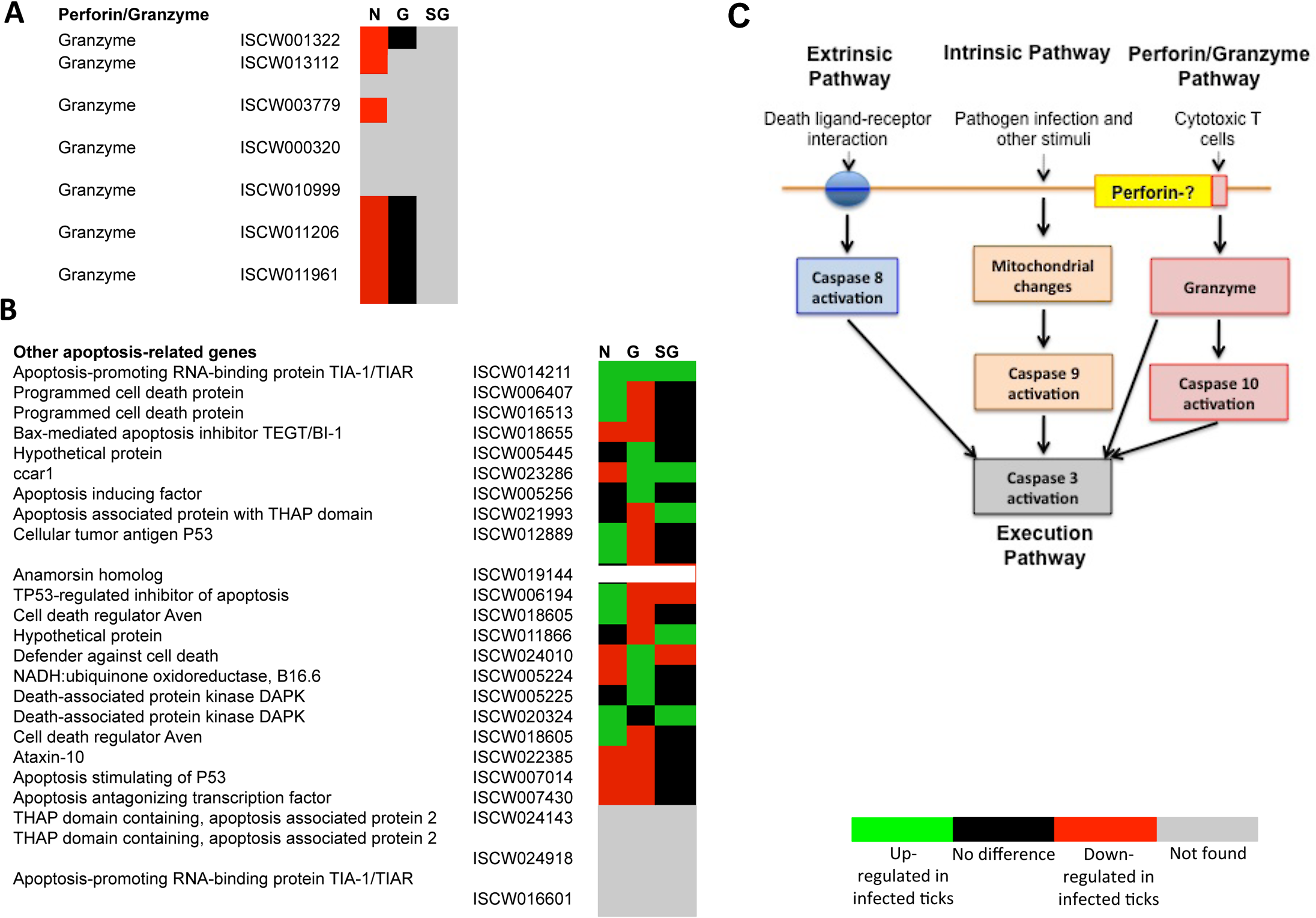 Annotation of Perforin/Granzyme and other apoptosis pathway genes and expression in response to <i>A</i>. <i>phagocytophilum</i> infection.