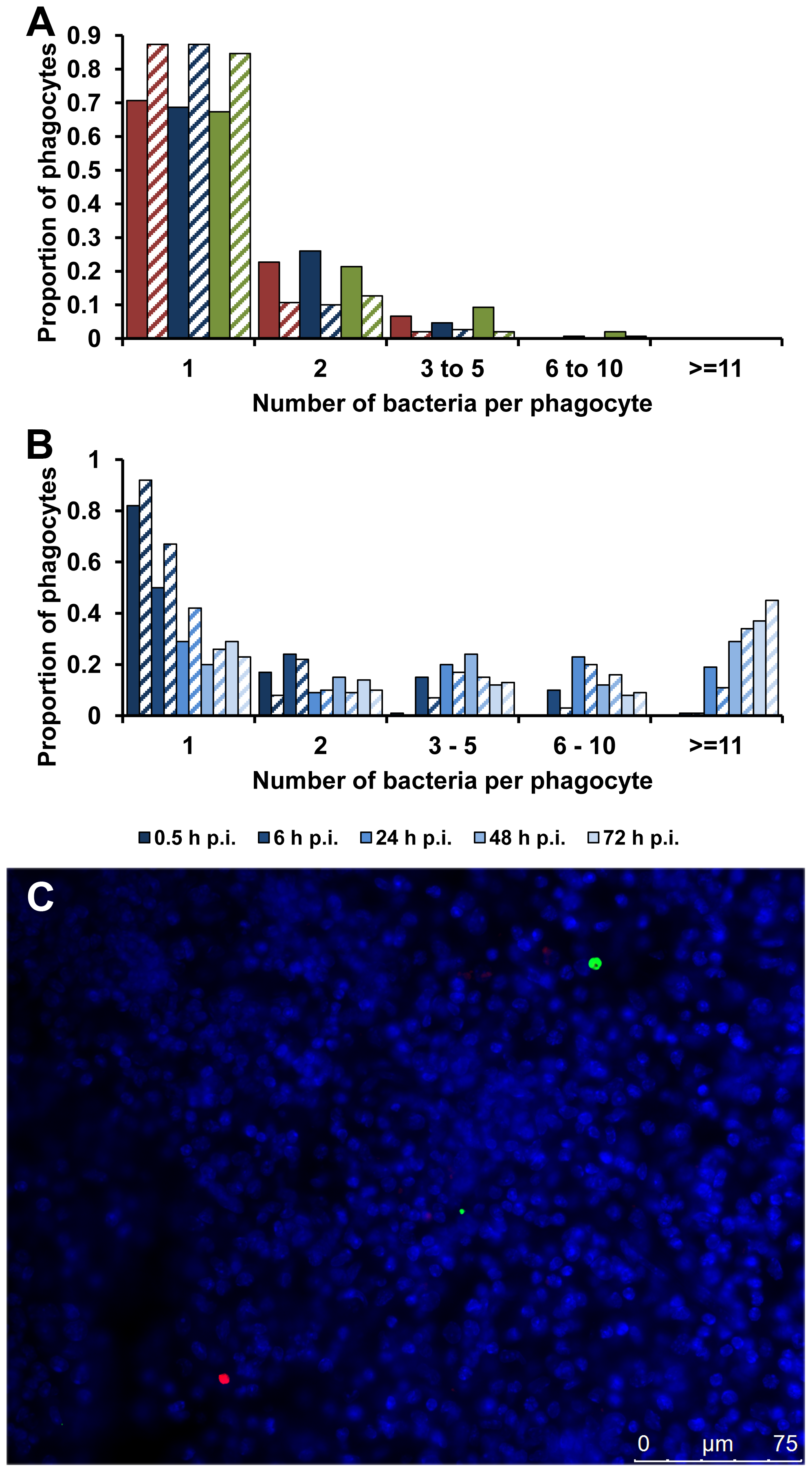 Accumulation of SPI-2 T3SS mutants inside cells is due to clonal expansion of a bacterium.