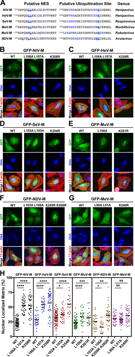 Mutational analysis of the role of a putative NES and a lysine within the NLS<sub>bp</sub> in nuclear export of <i>Paramyxovirinae</i> matrix proteins.