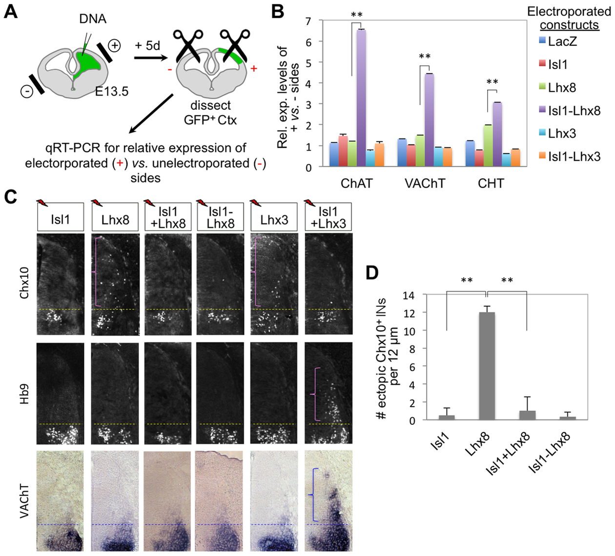 Isl1-Lhx8 induces the expression of cholinergic gene battery in the forebrain, but not in the spinal cord.