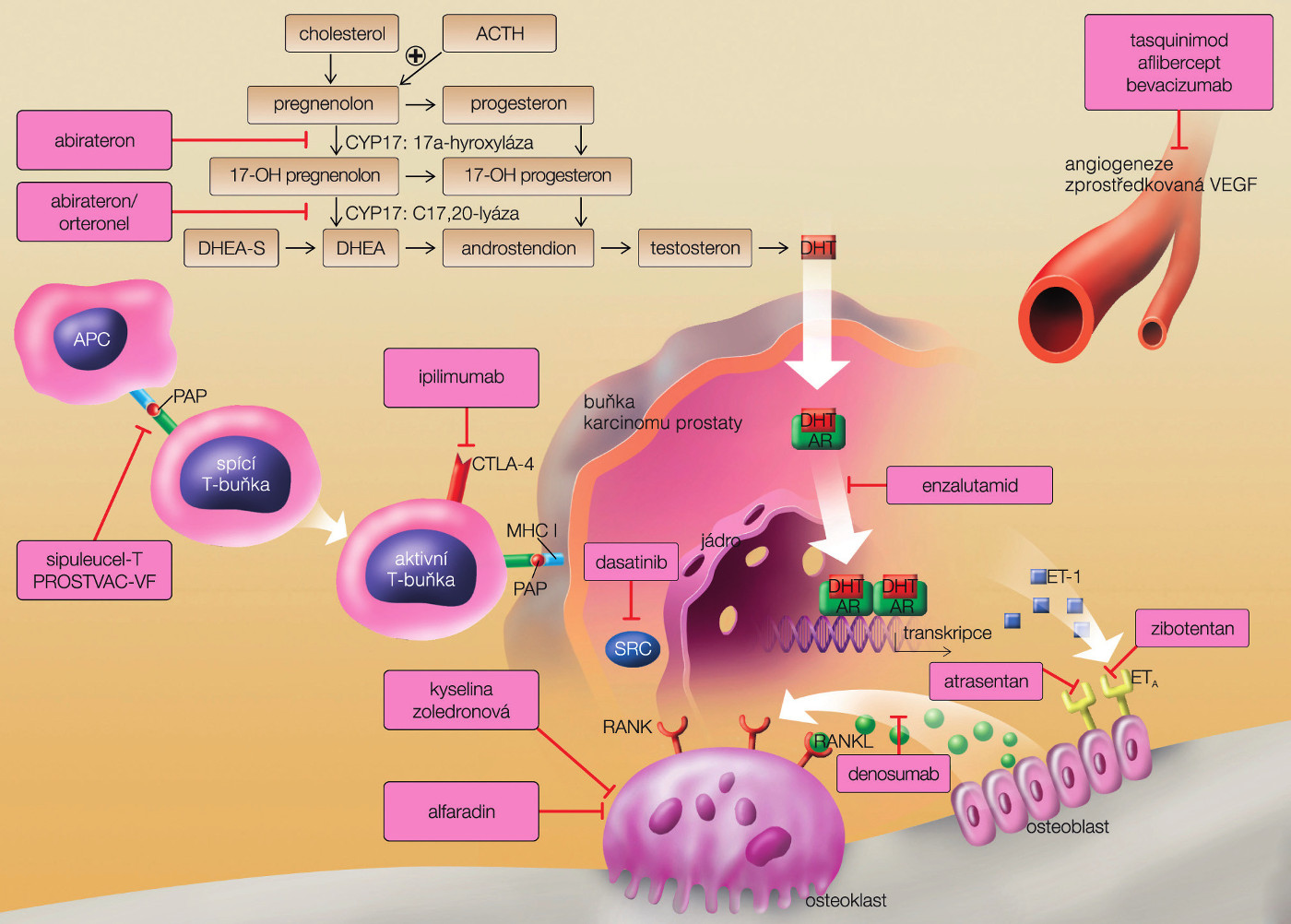 Možnosti cíleného zásahu naúrovni prostatické nádorové buňky (převzato zRemedia 2012) Fig. 2. Various points of drugs therapeutic effect on prostate cancer cell (from Remedia with permission)