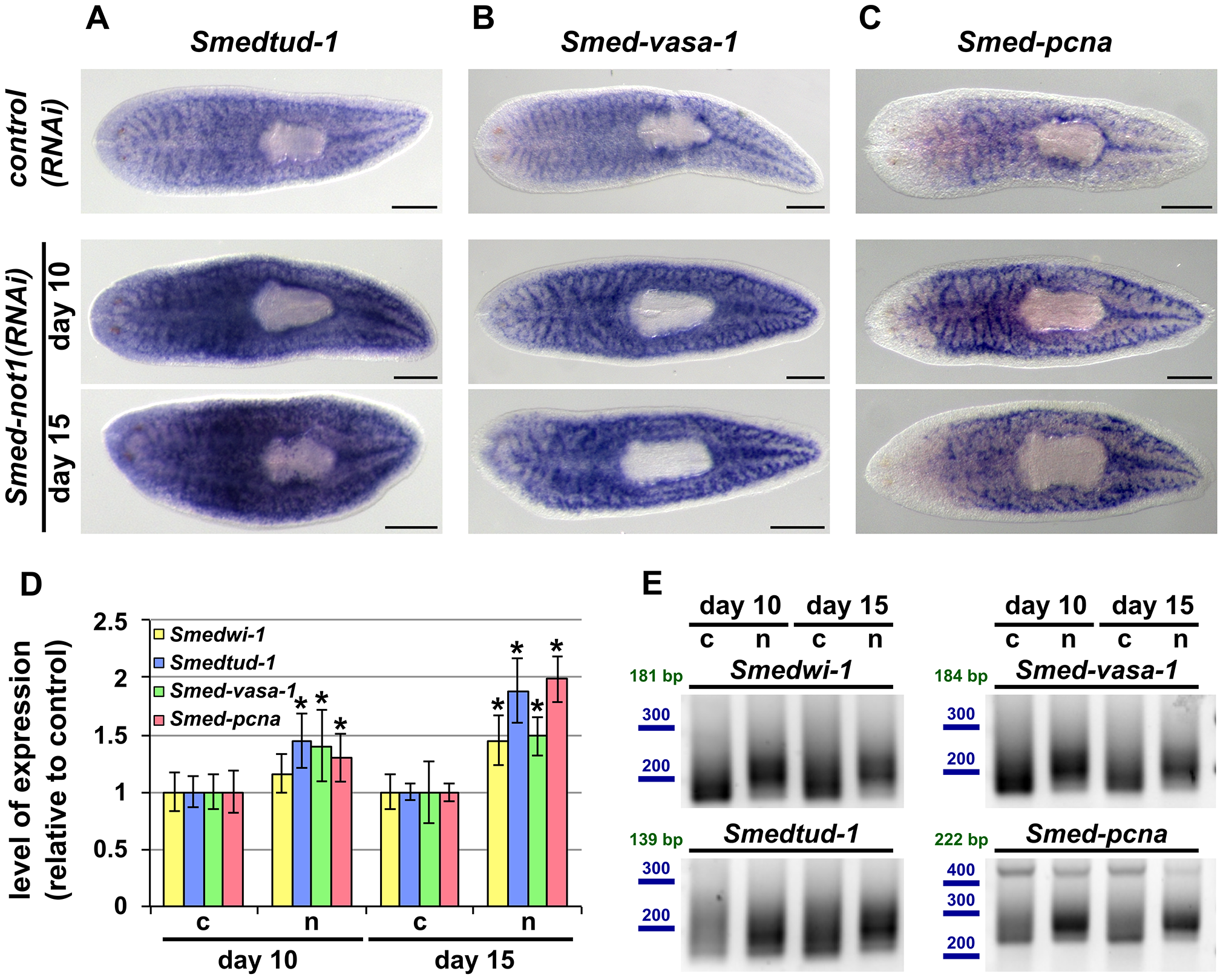 <i>Smed-not1(RNAi)</i> animals have increased levels of neoblast transcripts with increased frequency of long poly(A) tails.