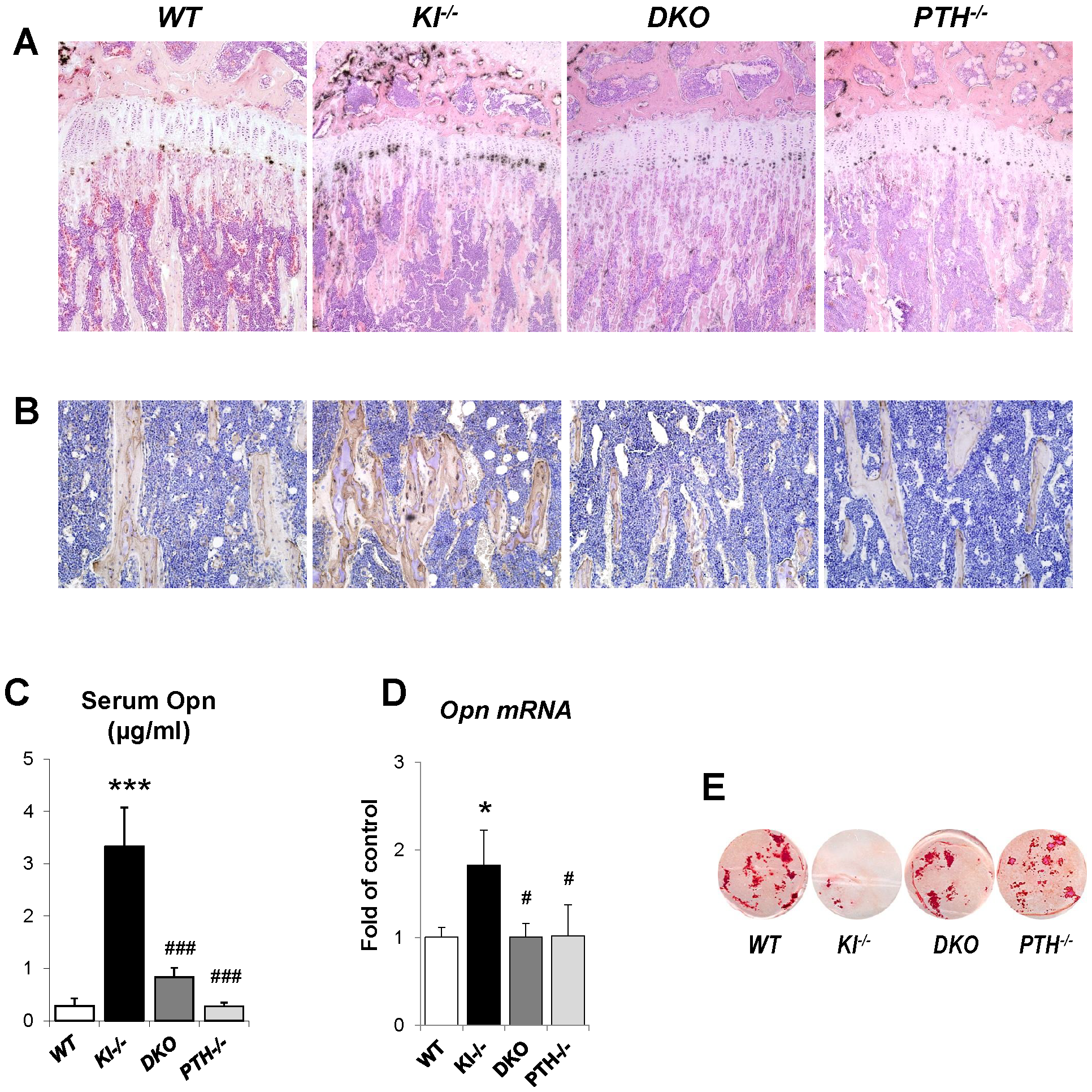 Normalized expression of Opn in <i>DKO</i> mice.