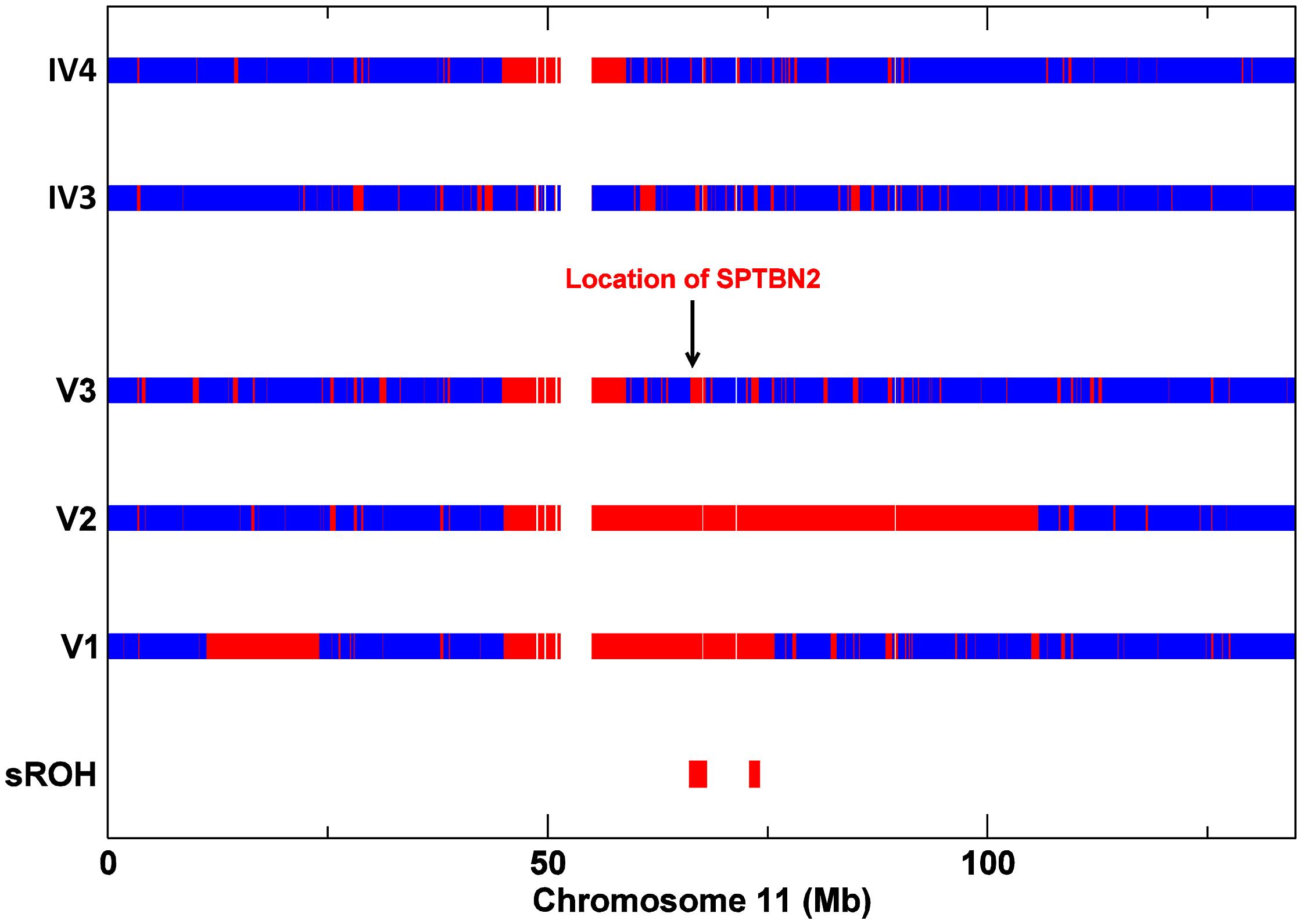 SNP Zygosity data for chromosome 11 from affecteds V1, V2, V3, and V3's parents IV3 and IV4.