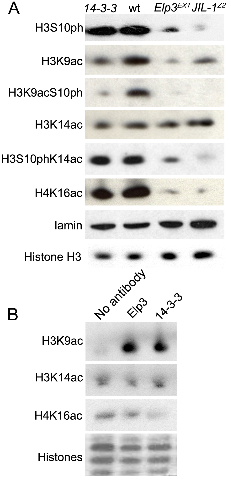 JIL-1, 14-3-3, and Elp3 are required for H3 acetylation.