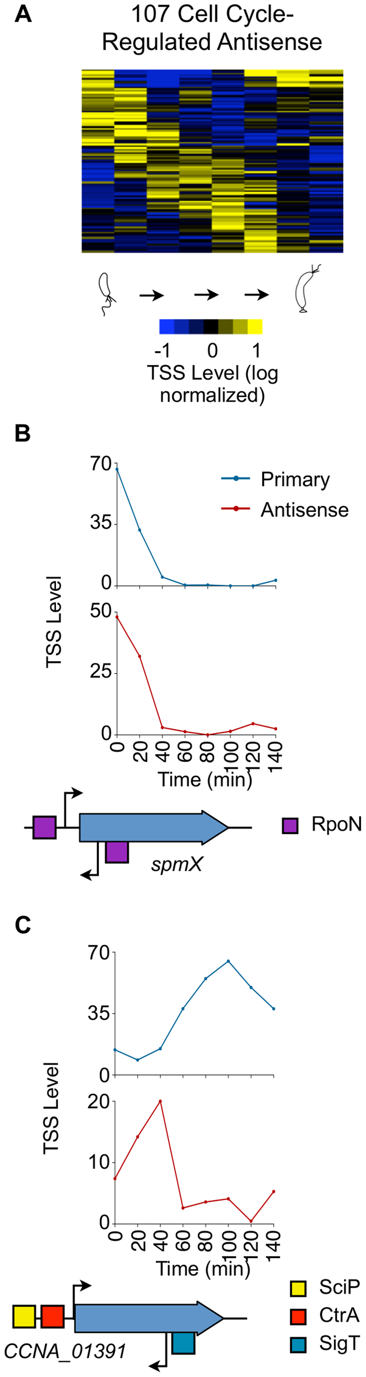 Cell cycle-regulated antisense TSSs.