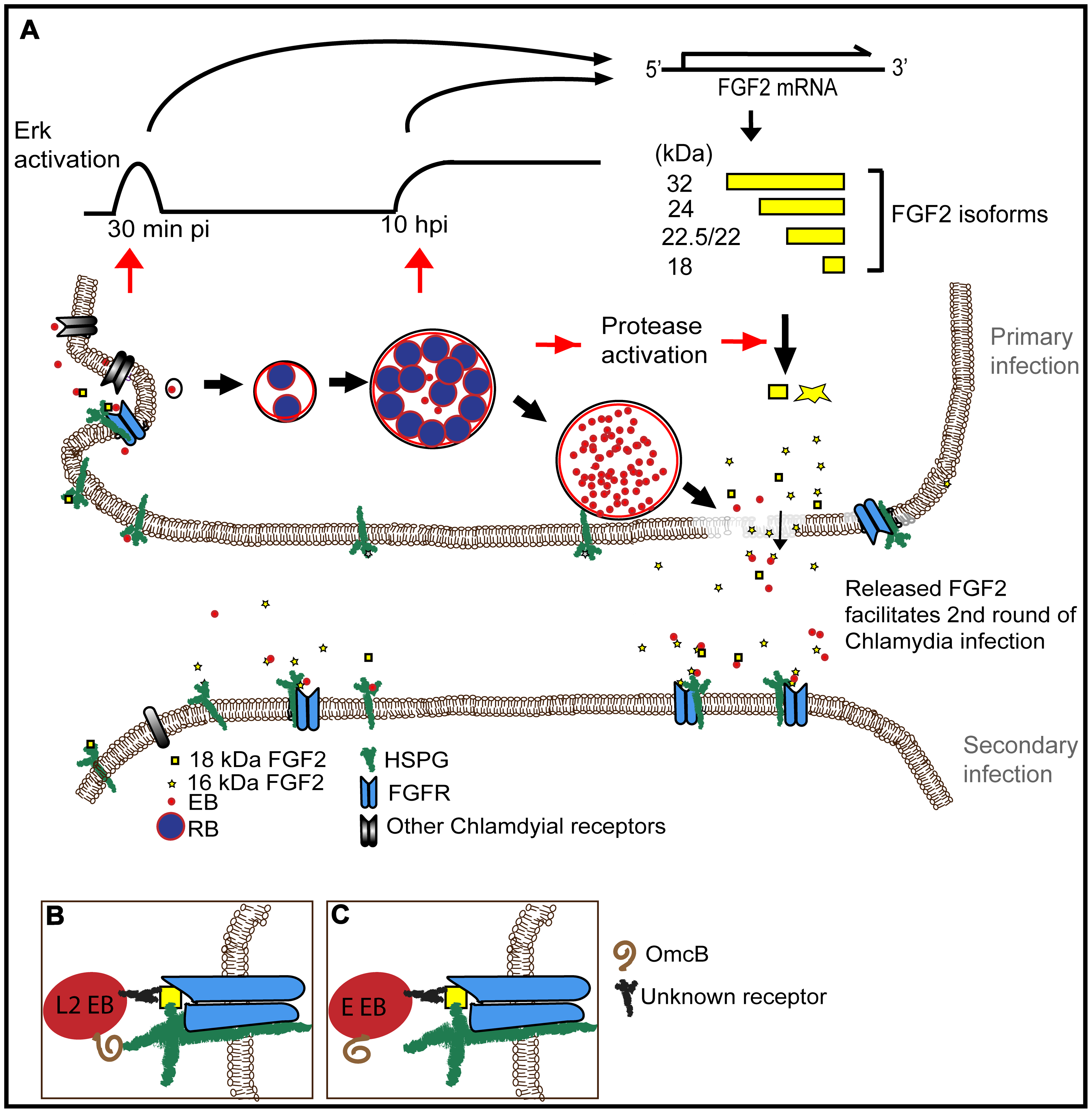 Working model for how <i>C. trachomatis</i> co-opts the FGF2 signaling pathway to enhance infection.