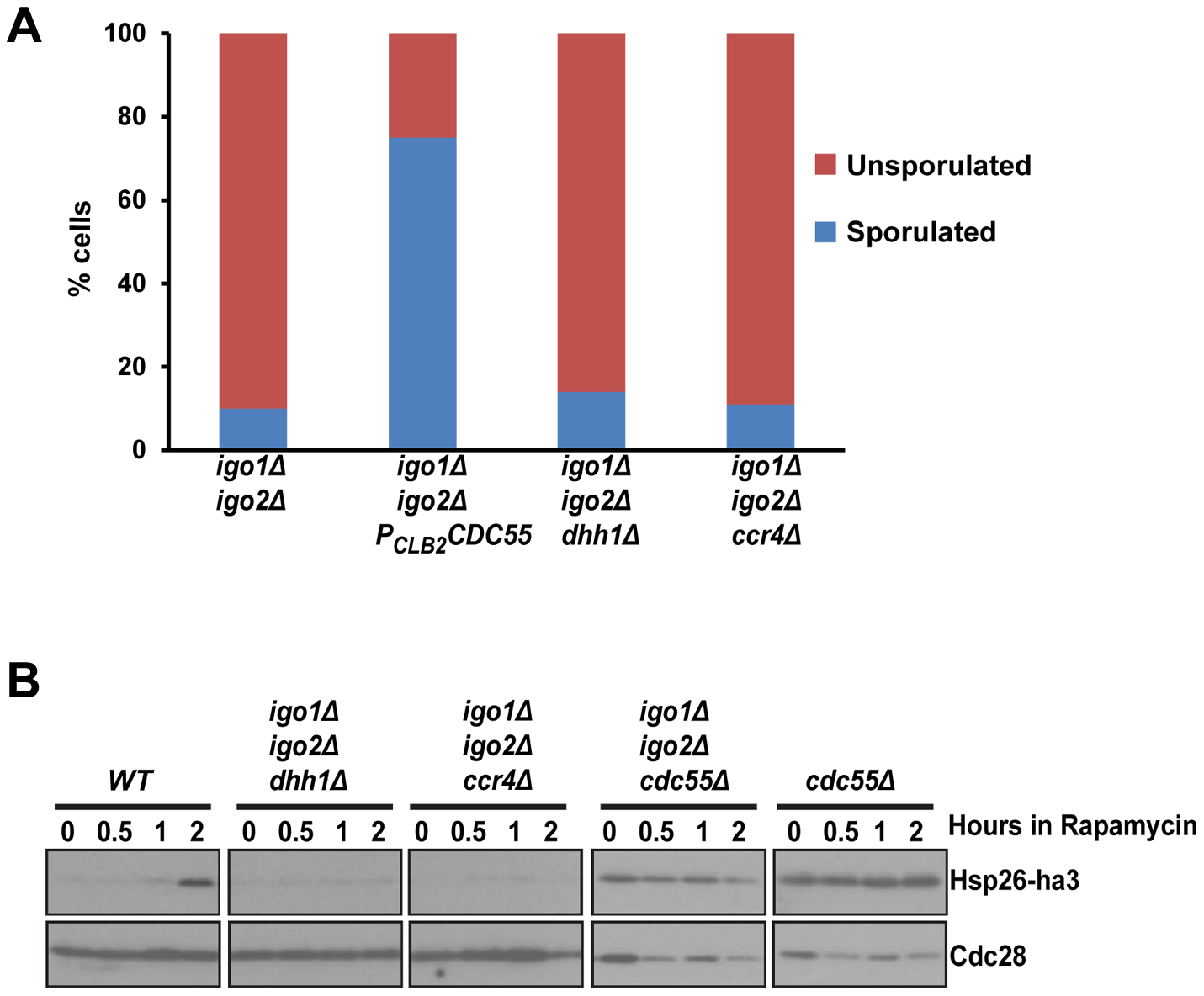 <i>dhh1Δ</i> and <i>ccr4Δ</i> do not suppress the G<sub>0</sub> - and gametogenesis- entry defects of endosulfine mutant cells.