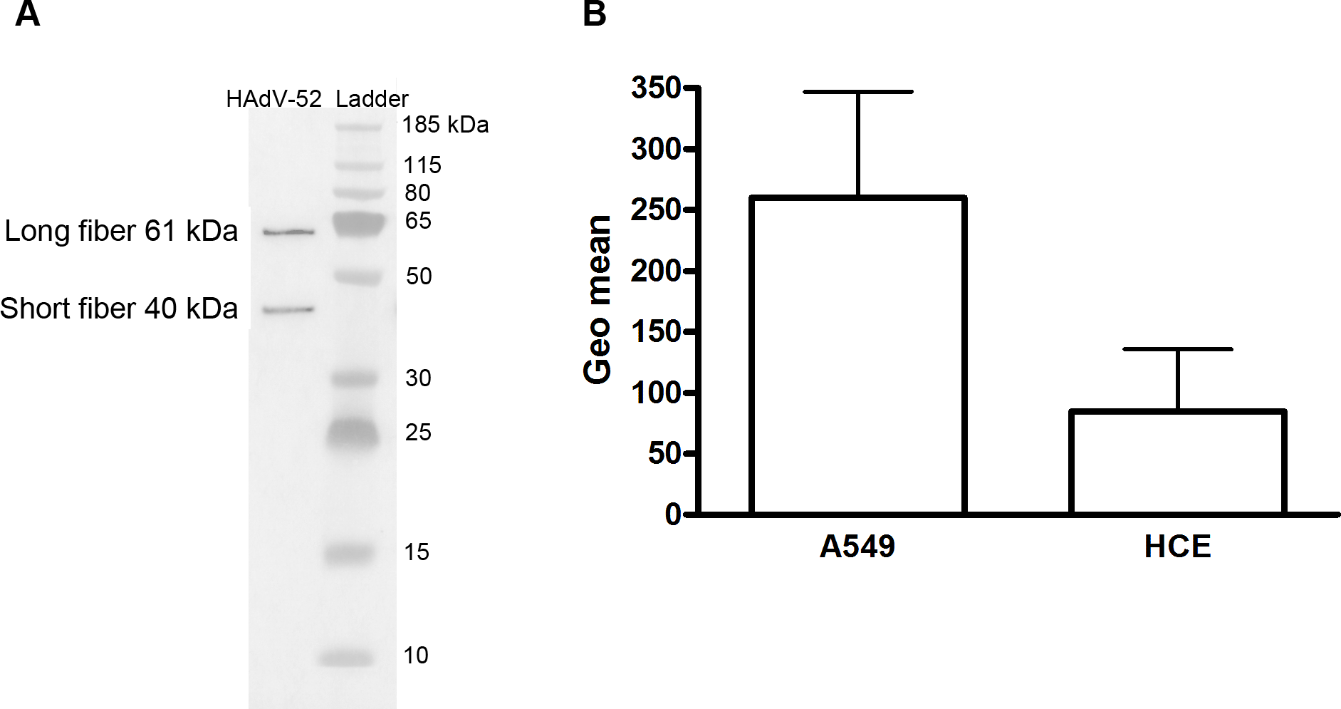 Virion composition and relative expression of CAR and sialic acid on human epithelial cells.