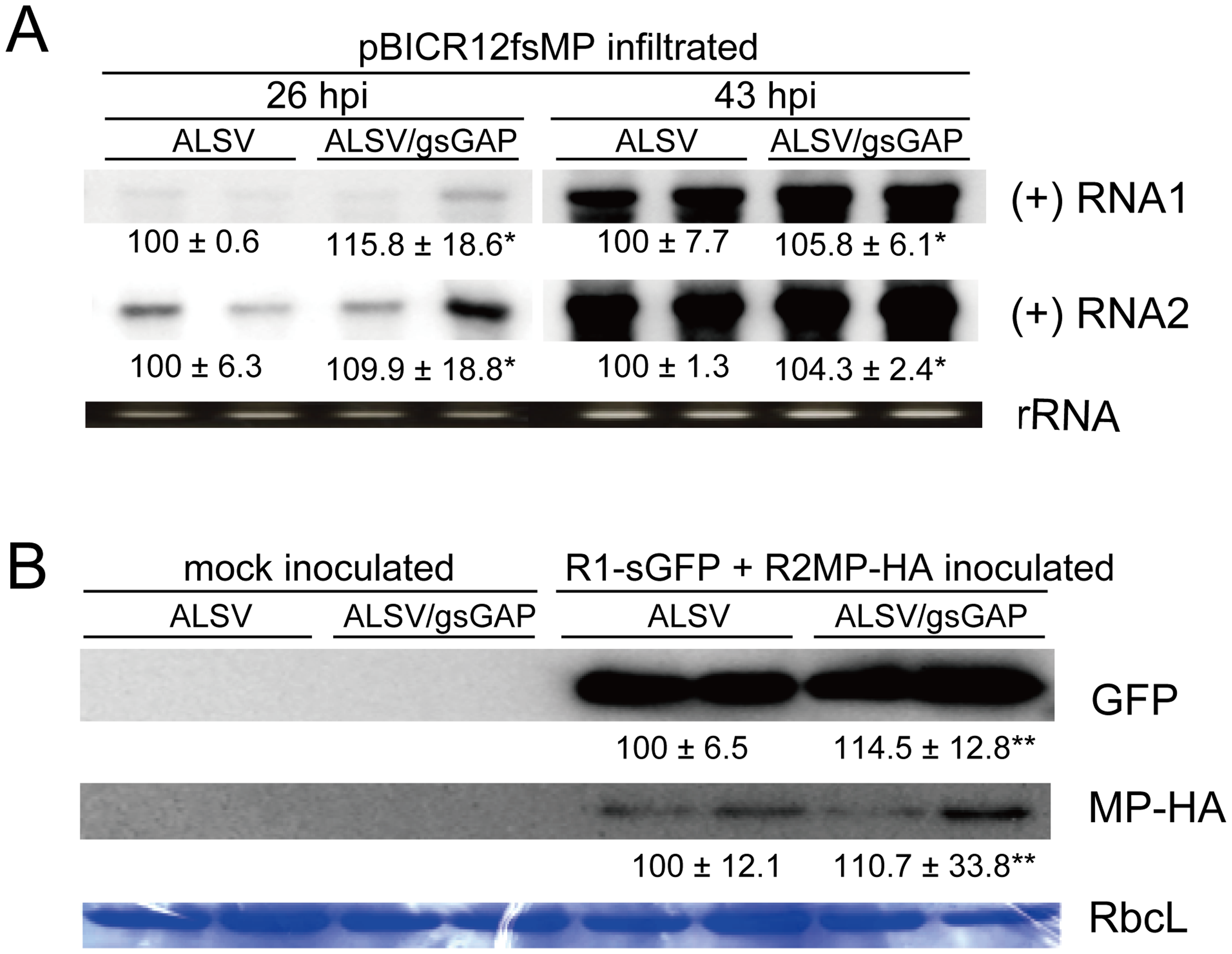 <i>NbGAPDH-A</i> does not affect the accumulations of RCNMV RNA and MP at the single-cell level.