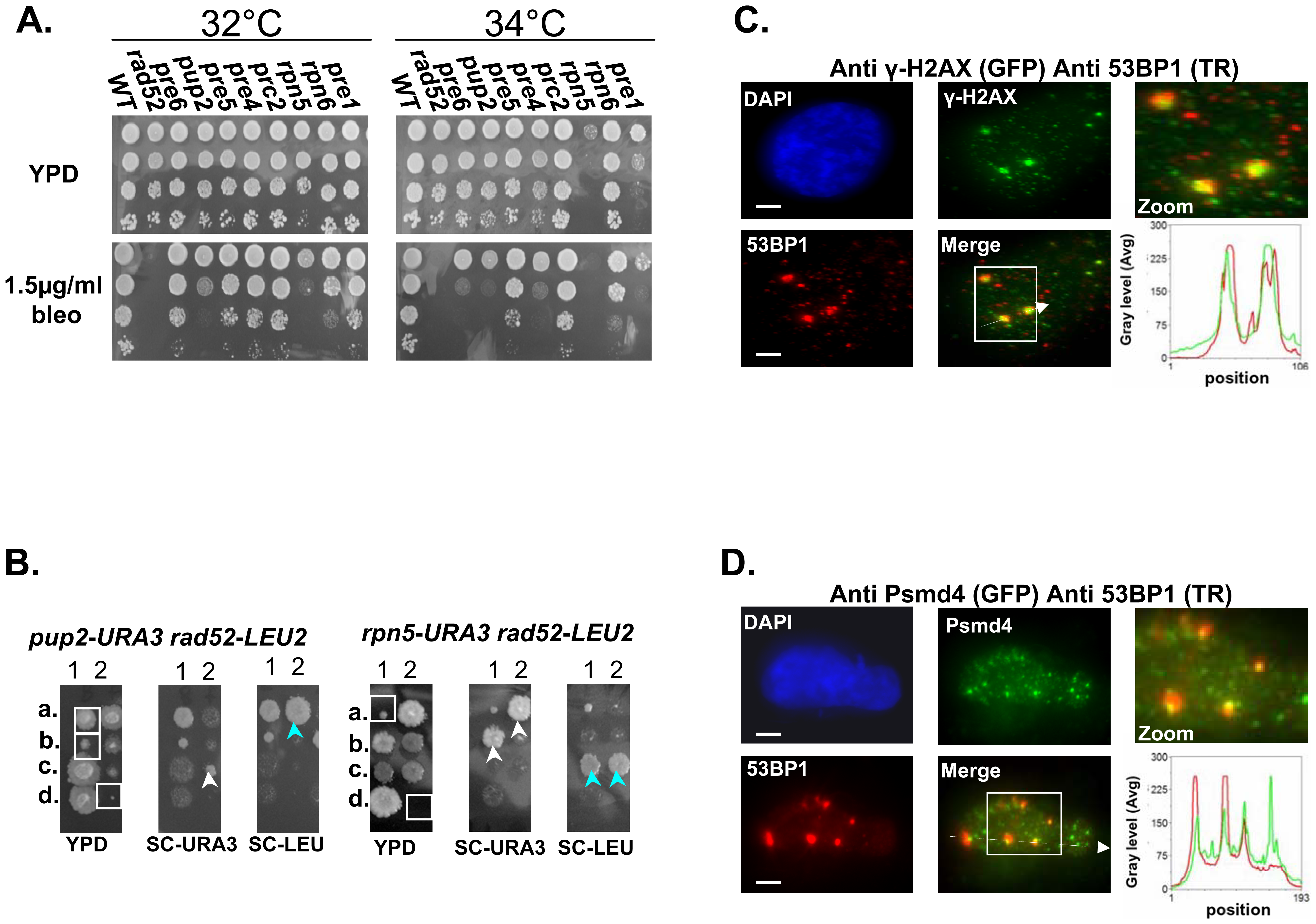 Mutated proteasome subunits affect the repair of DNA DSBs.