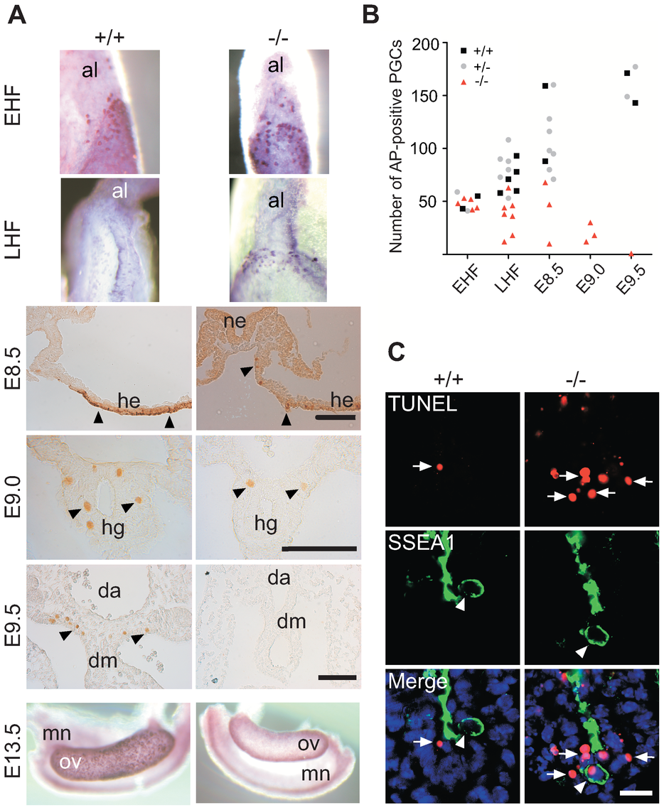 Loss and apoptosis of PGCs early after specification.