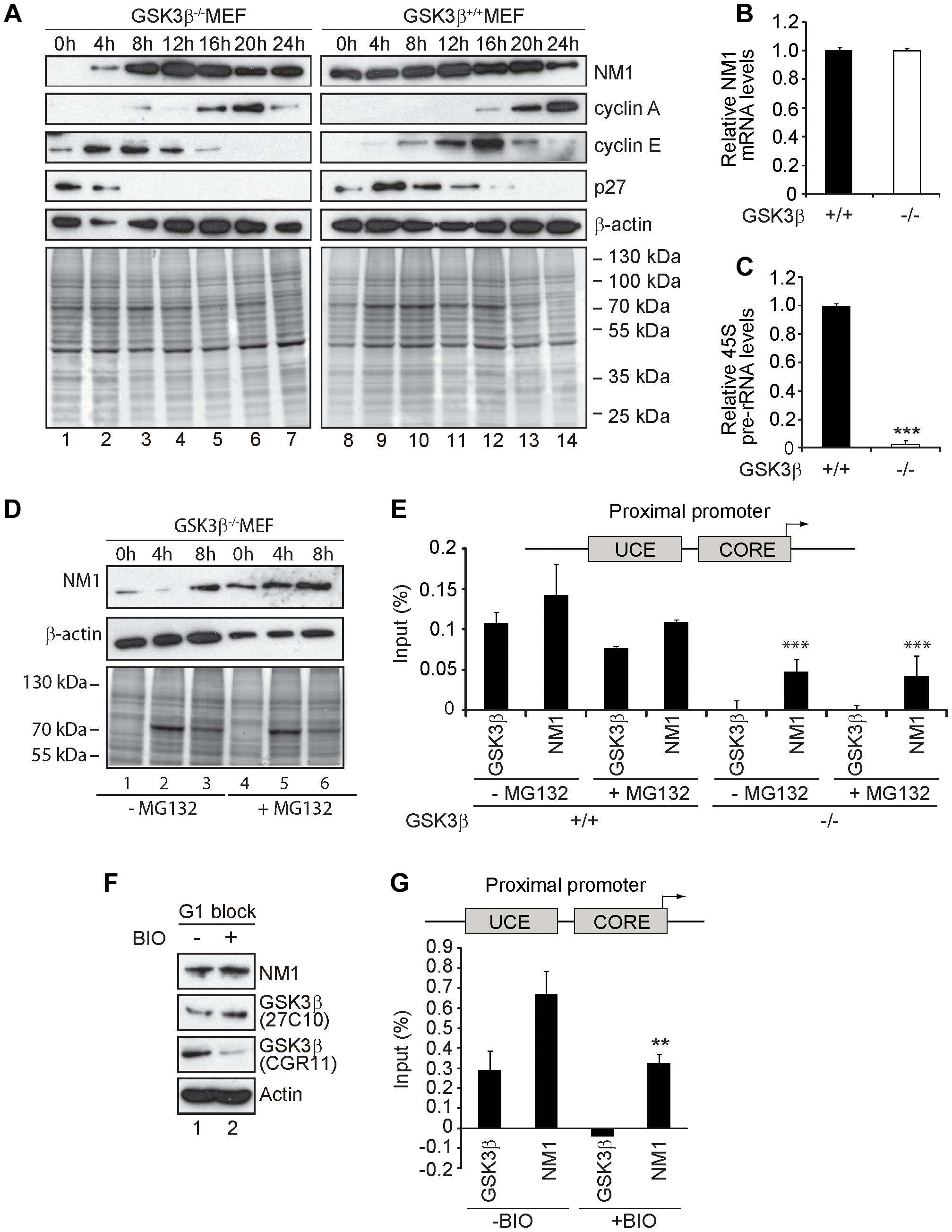 GSK3β-dependent NM1 phosphorylation suppresses proteasome mediated degradation and mediates association with chromatin.