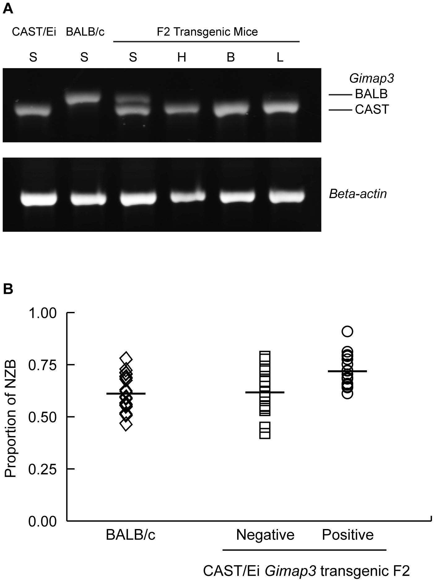 Transgenic expression of CAST/Ei <i>Gimap3</i> cDNA in heteroplasmic mice slows the rate of splenic mtDNA segregation.