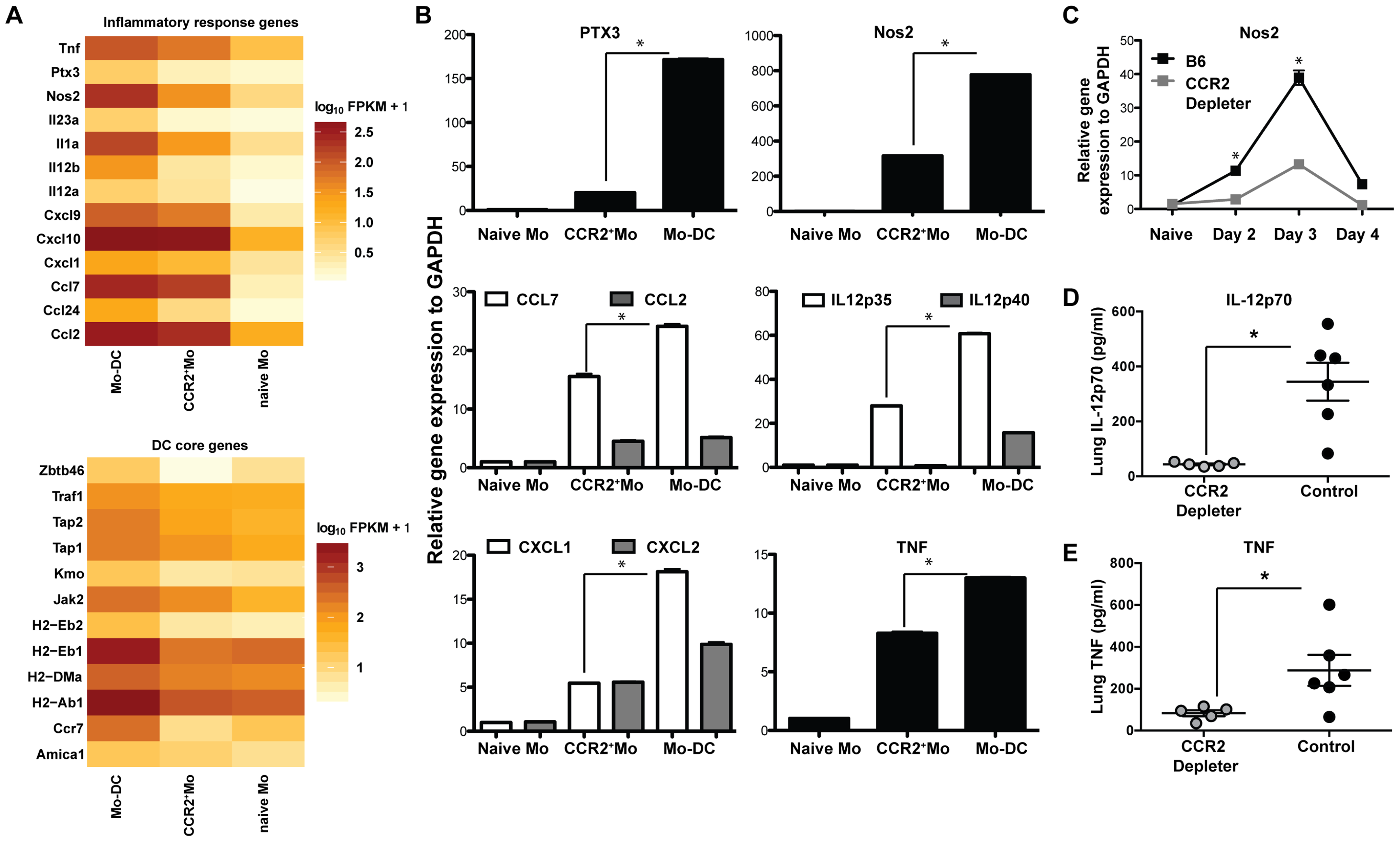 Inflammatory responses of CCR2<sup>+</sup>Mo and Mo-DC during respiratory fungal infection.