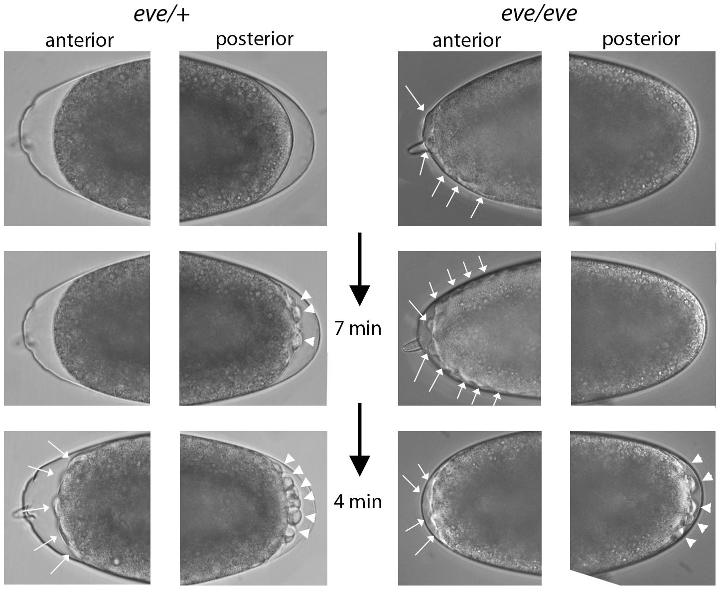 Phenotype of <i>even-skipped</i> pre-blastoderm embryos.
