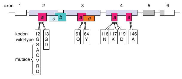 Onkogenní mutace genu KRAS. Gen se skládá z 6 exonů označovaných v literatuře 1, 2, 3, 4, 5, 6 (4), případně -1, 1, 2, 3, 4A a 4B (25). V současné terminologii používané v souvislosti s testováním onkogenních mutací u pacientů s kolorektálním karcinomem převažuje označení 1–6. Exon 1 není překládán (prázdný box), šedě označené exony 5 a 6 podléhají alternativnímu sestřihu se značnou převahou izoformy KRASB (KRAS4B) s translací exonu 6 bez exonu 5. Exony 2–4 jsou invariantní kódující exony. Boxy s písmeny znázorňují funkční oblasti proteinu v kontextu jejich uspořádání v genu: (a) místo vazby GTP, (b) místo vazby efektorů, (c) switch I: interakce efektorů a GAP, (d) switch II: interakce s GEF. Černé body představují kodony, u jejichž mutací byl popsán onkogenní potenciál; u kodonů 12 a 13 jsou mimo aminokyseliny kódované nemutovaným tripletem uvedeny také aminokyseliny zařazované následkem mutace.