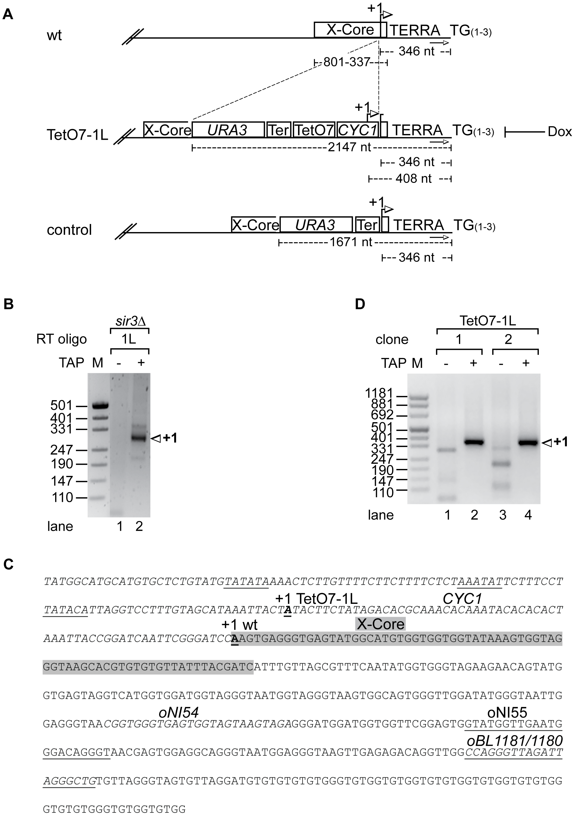 Development of an inducible 1L TERRA expression system.