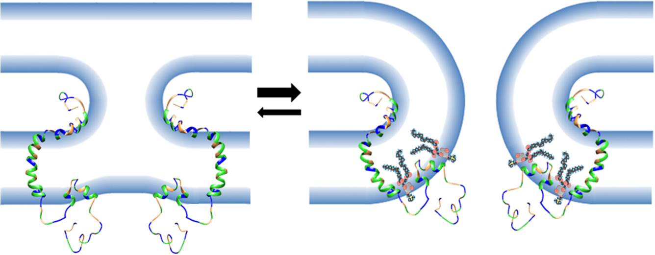 Model of the role of the FLiPS motif in membrane fusion.