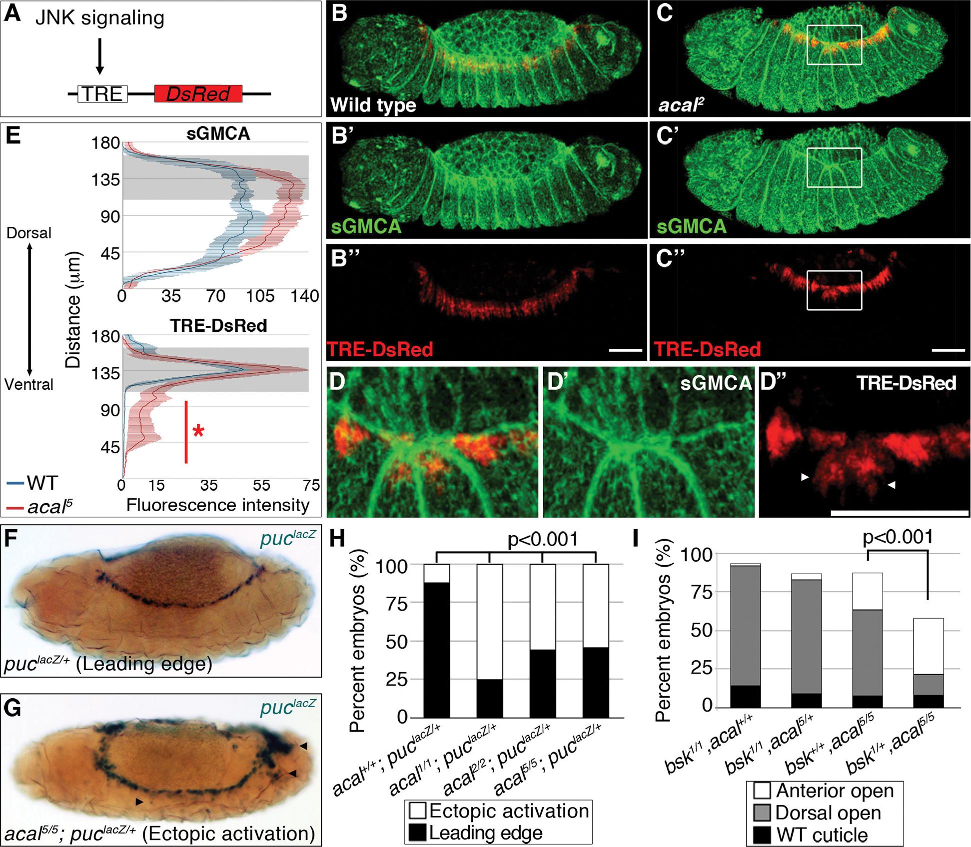 Ectopic JNK signaling activation in <i>acal</i> mutants.