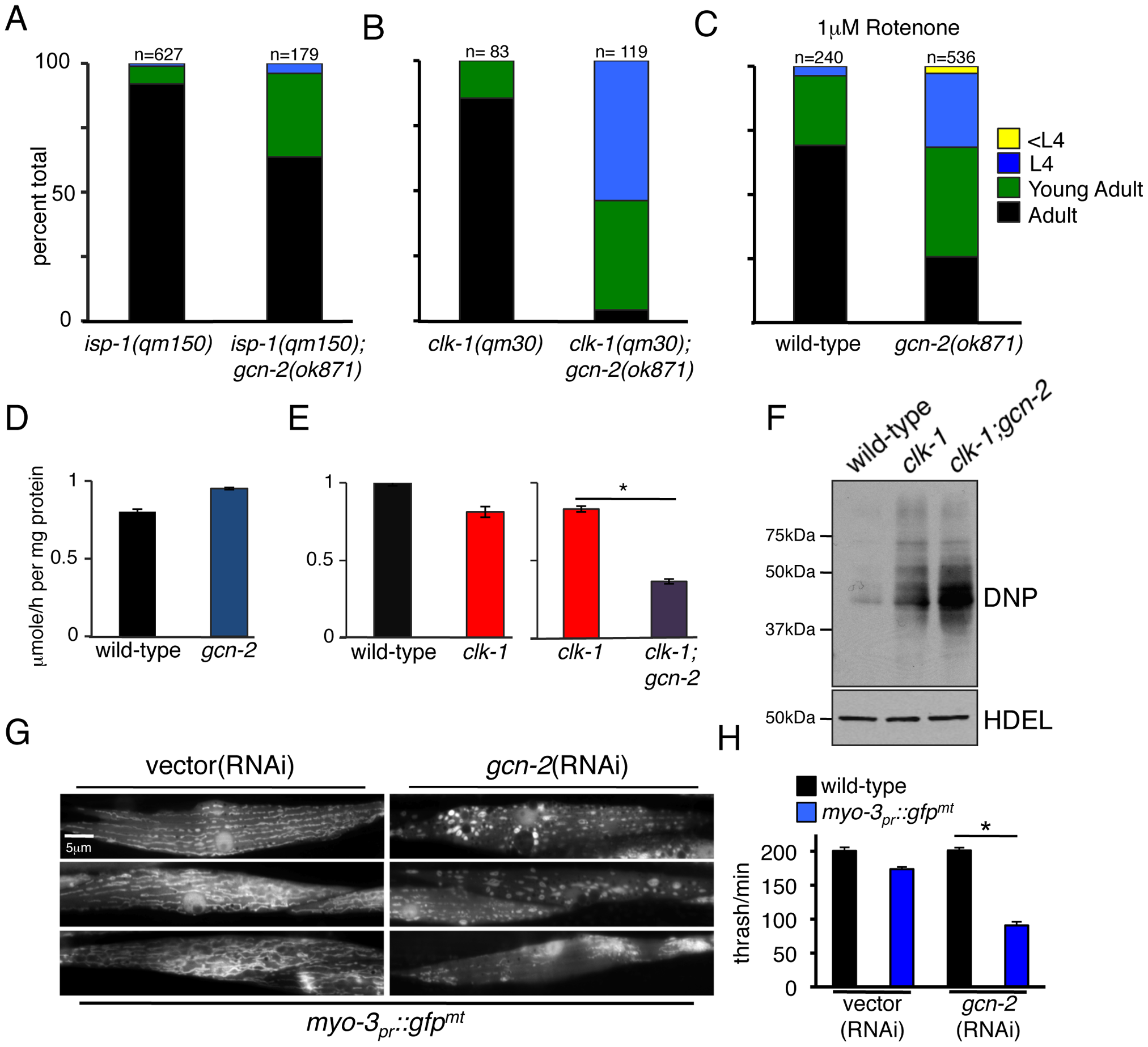 GCN-2 Is Required for Development and Mitochondrial Maintenance during Mitochondrial Stress.