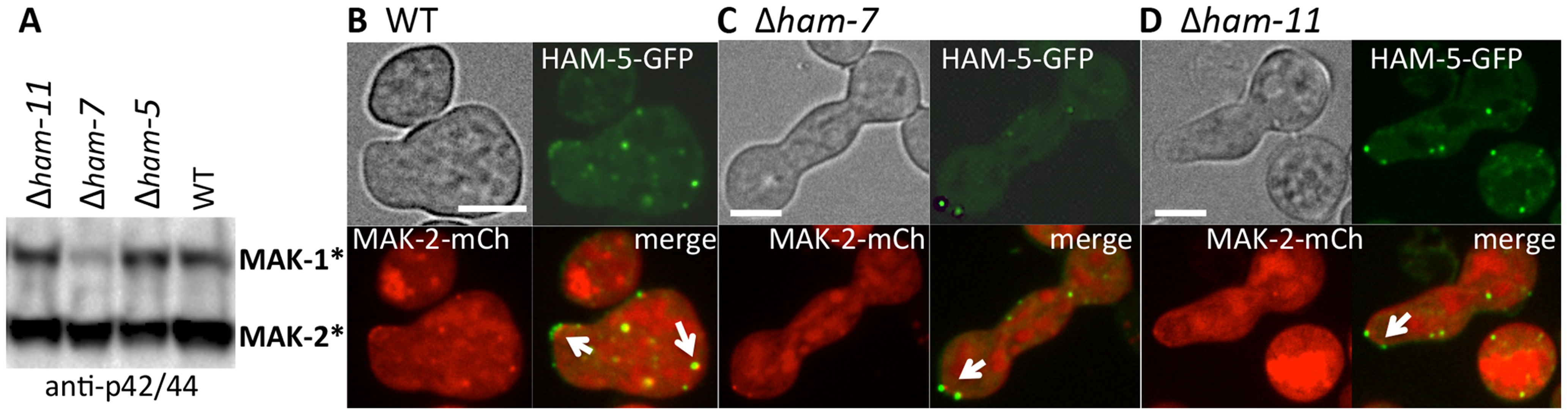 HAM-5-GFP and MAK-2-mCherry localize to puncta in Δ<i>ham-7</i> and Δ<i>ham-11</i> fusion-deficient germlings.
