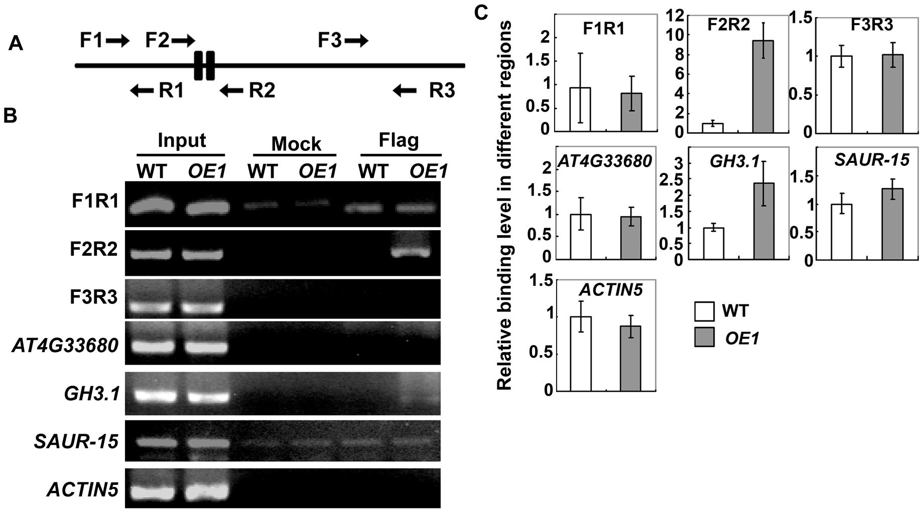 Chromatin immunoprecipitation (ChIP) assay on the promoter of <i>HB33</i>.