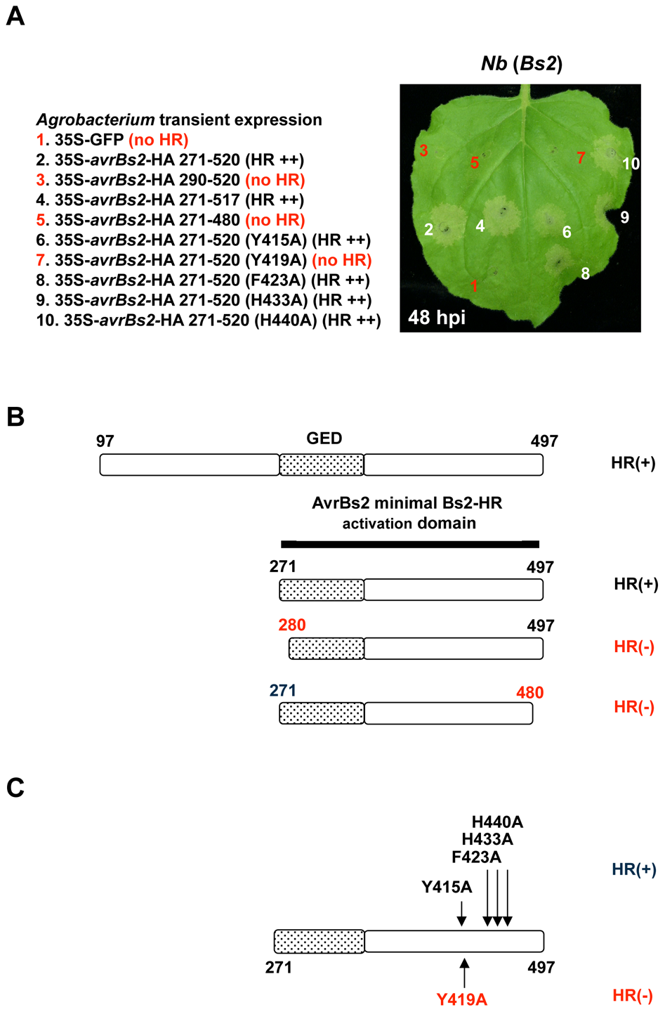 Characterization of the minimal AvrBs2 domain required for Bs2 activation.