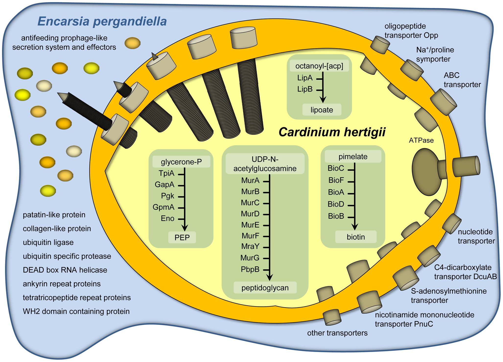 Metabolism, transport capabilities, and host cell interaction of <i>Cardinium hertigii c</i>Eper1.