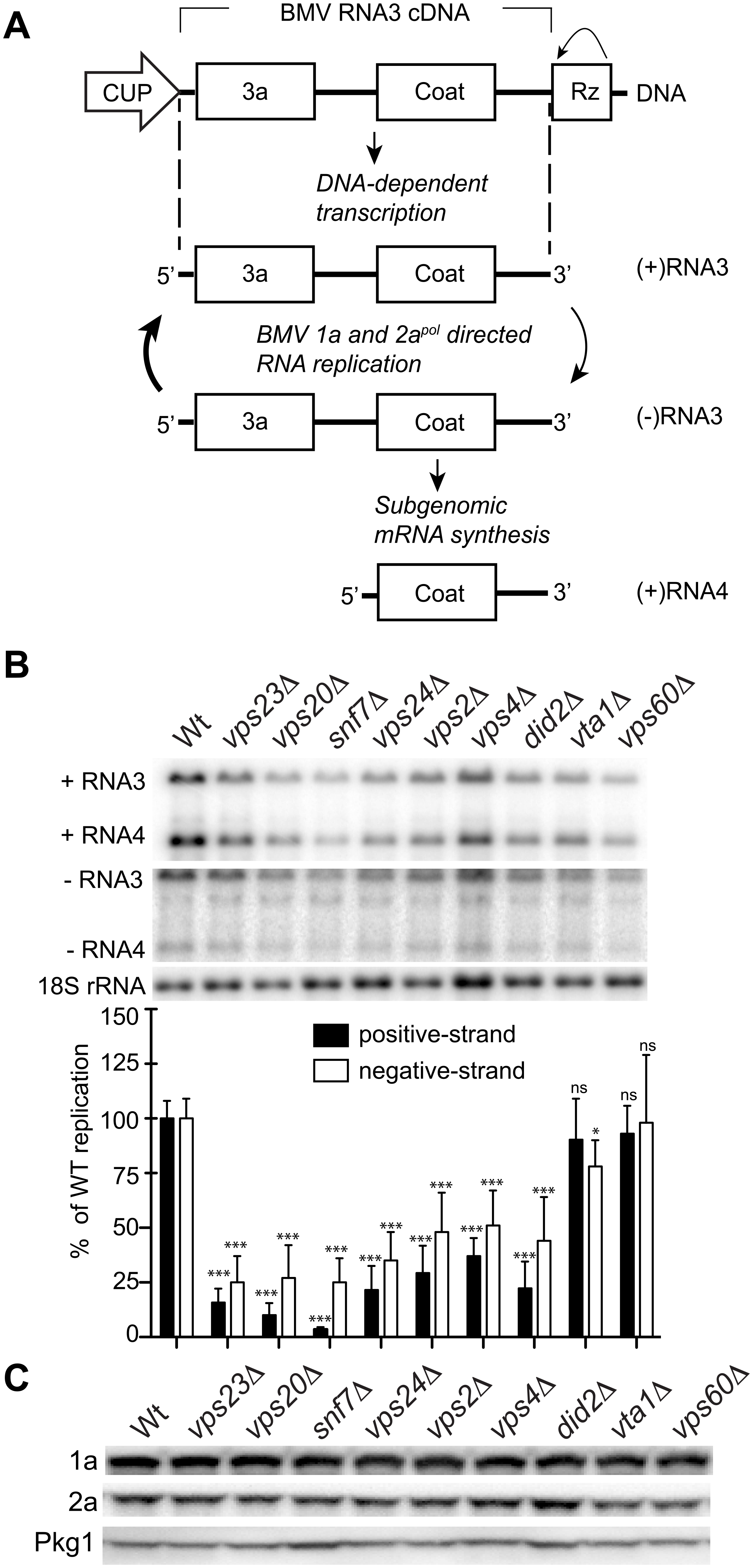 BMV RNA replication is inhibited in specific ESCRT deletion yeast strains.