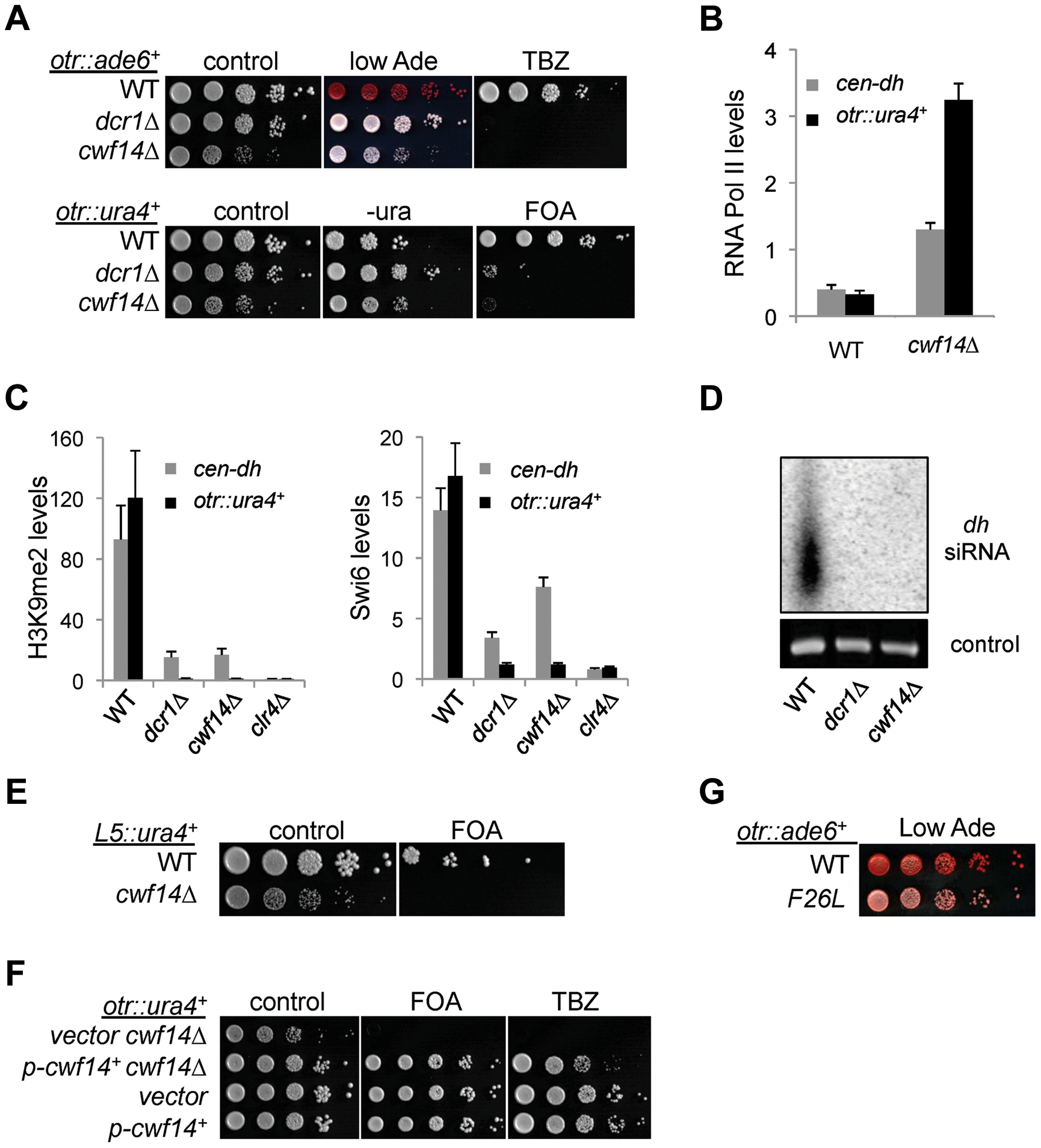 Cwf14 is required for pericentric heterochromatin assembly through the RNAi pathway.