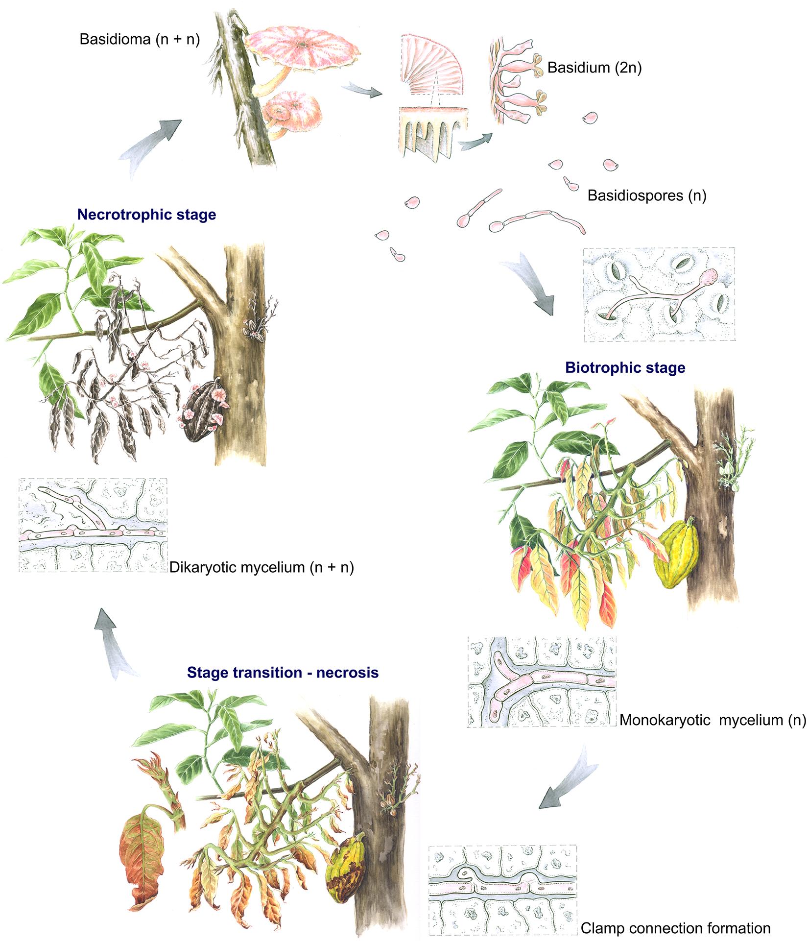The <i>Moniliophthora perniciosa</i> life cycle in <i>Theobroma cacao</i>.