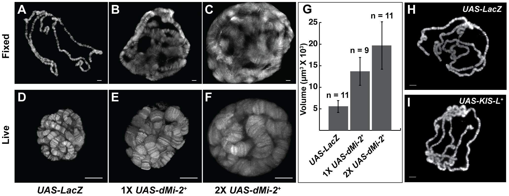 dMi-2 increases the size of polytene chromosomes <i>in vivo</i>.