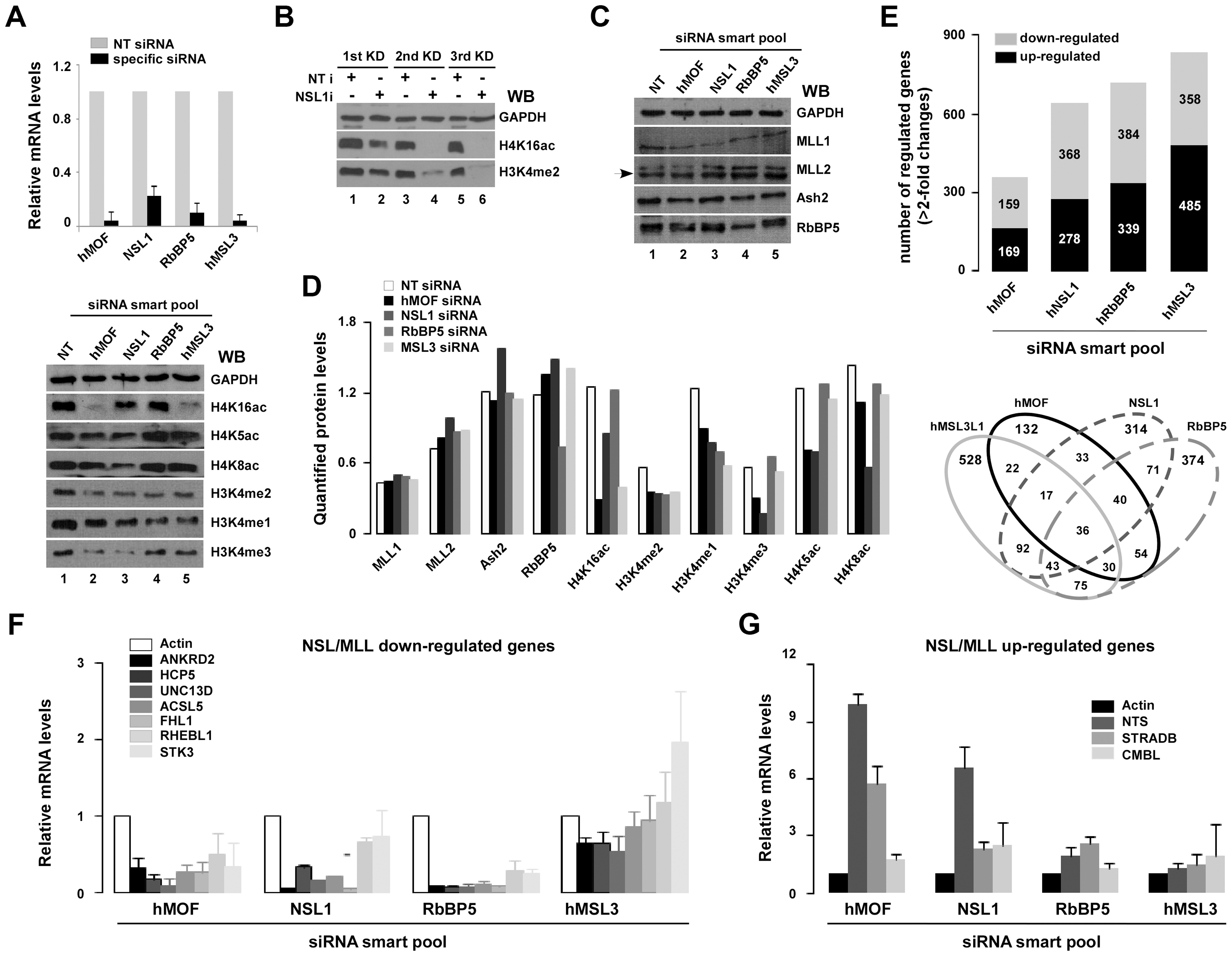 Select genes are co-regulated by NSL and RbBP5-MLL complexes.
