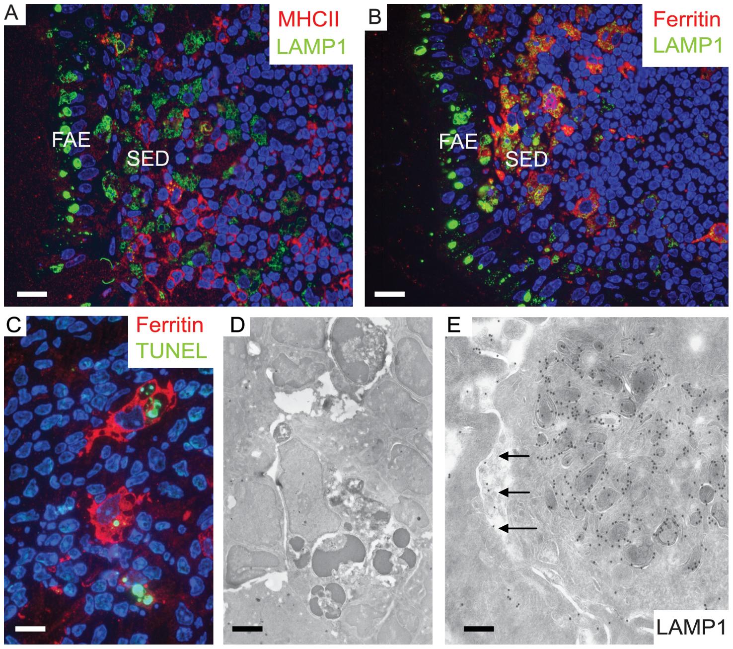 Two separate subpopulations of phagocytic monocytes in SED.