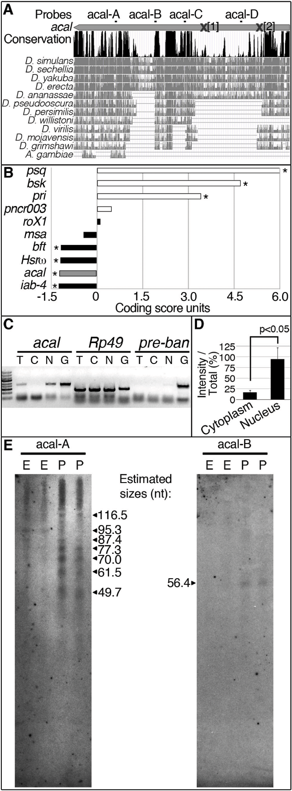 <i>acal</i> is a processed long non-coding RNA.