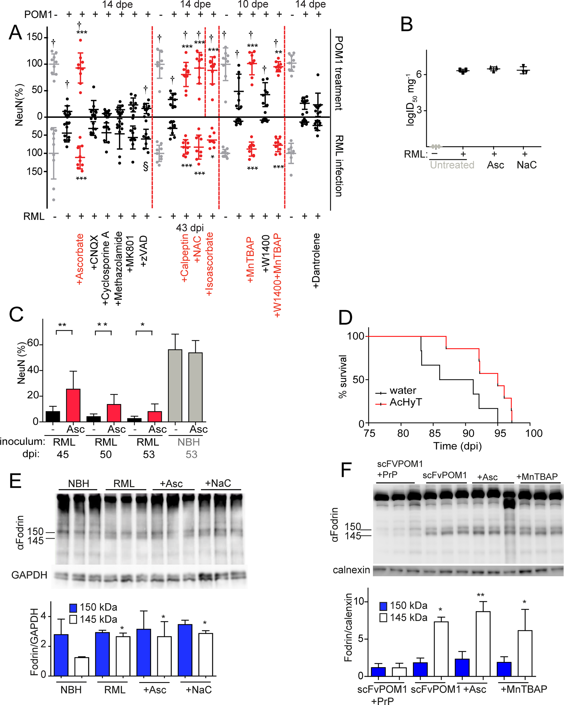 ROS scavengers and calpain inhibitors are beneficial to prion-infected COCS and mice.