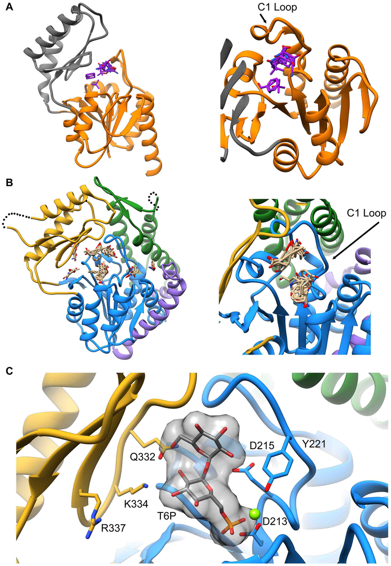 Proposed model of trehalose 6-phosphate in the active site of T6PP.