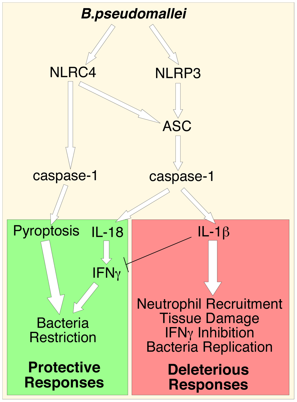 Inflammasomes-dependent protective and deleterious responses activated by <i>B. pseudomallei.</i>