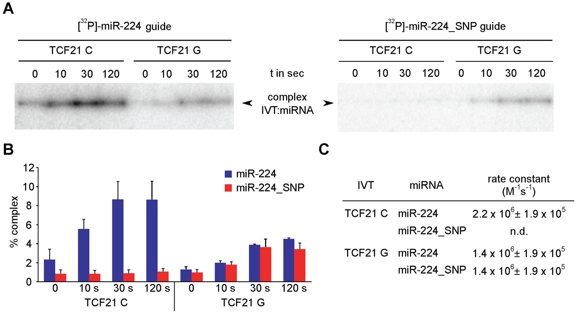 <i>In vitro</i> annealing kinetics between miR-224 and <i>TCF21</i> 3′UTR variants.