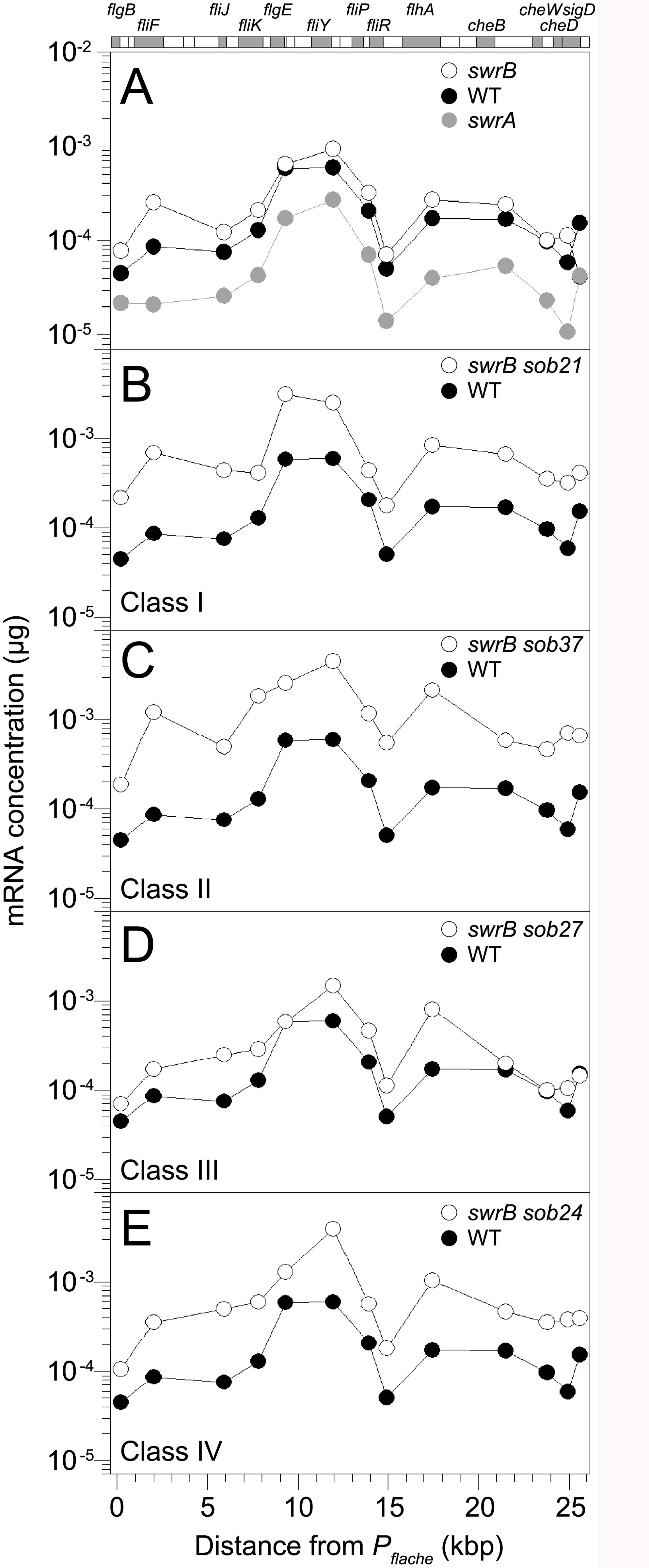 Some <i>sob</i> classes increase <i>fla/che</i> operon expression.