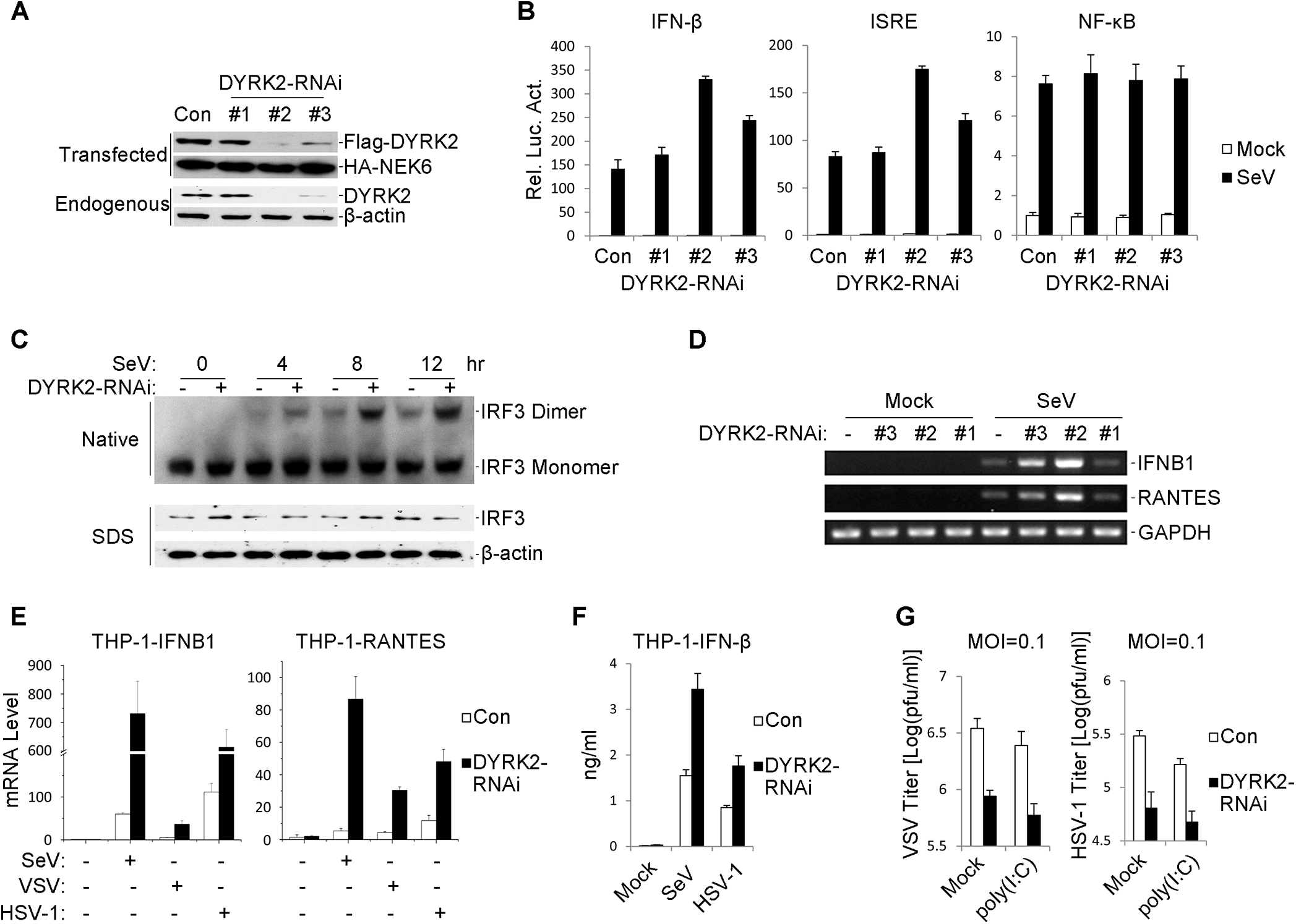 Effects of RNAi-mediated knockdown of DYRK2 on SeV-induced signaling and IRF3 activation.