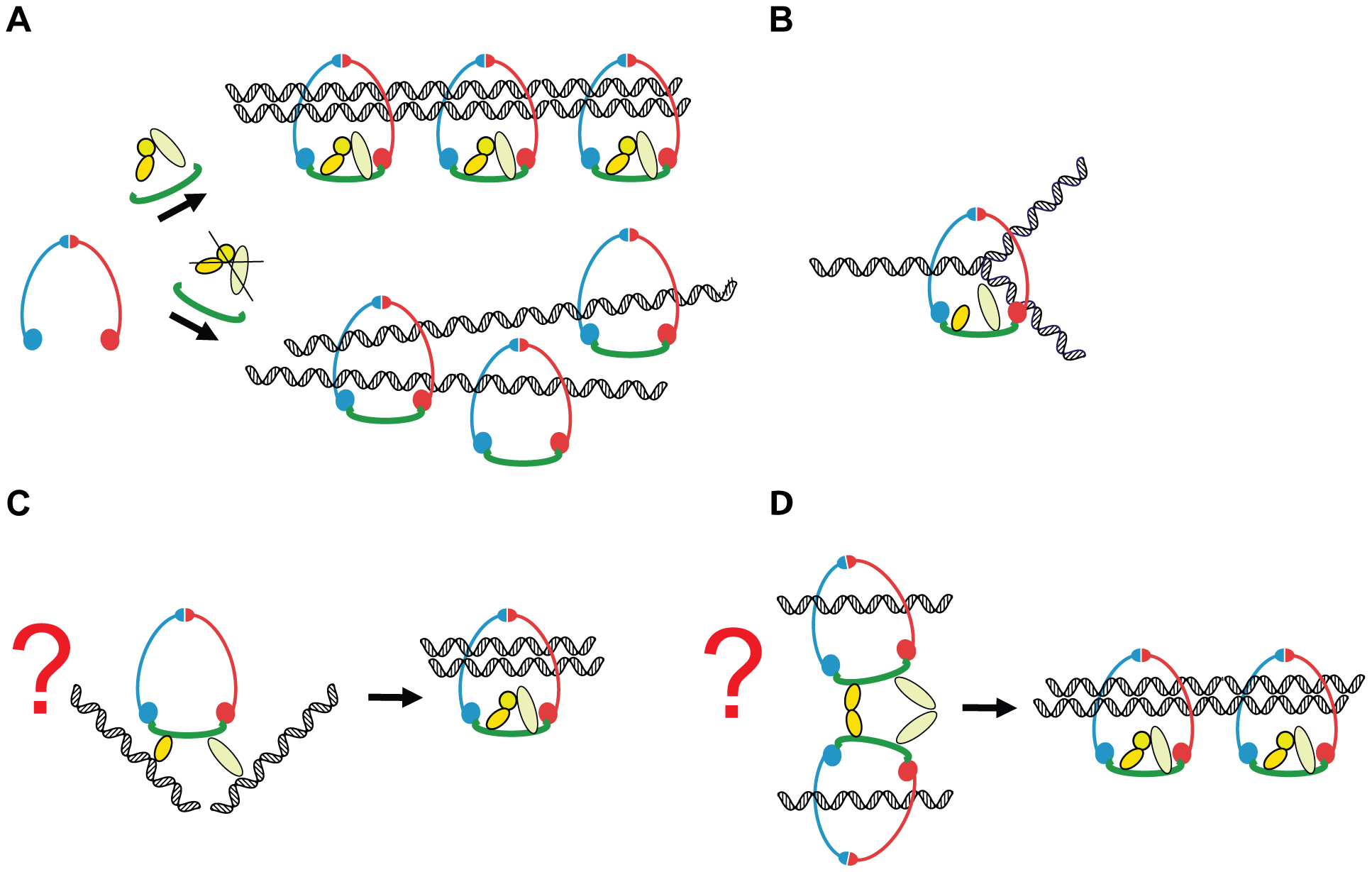 A model of how Scc3 and Pds5 play a role in the establishment of sister chromatid cohesion but are not required to stabilize cohesin rings on the DNA.