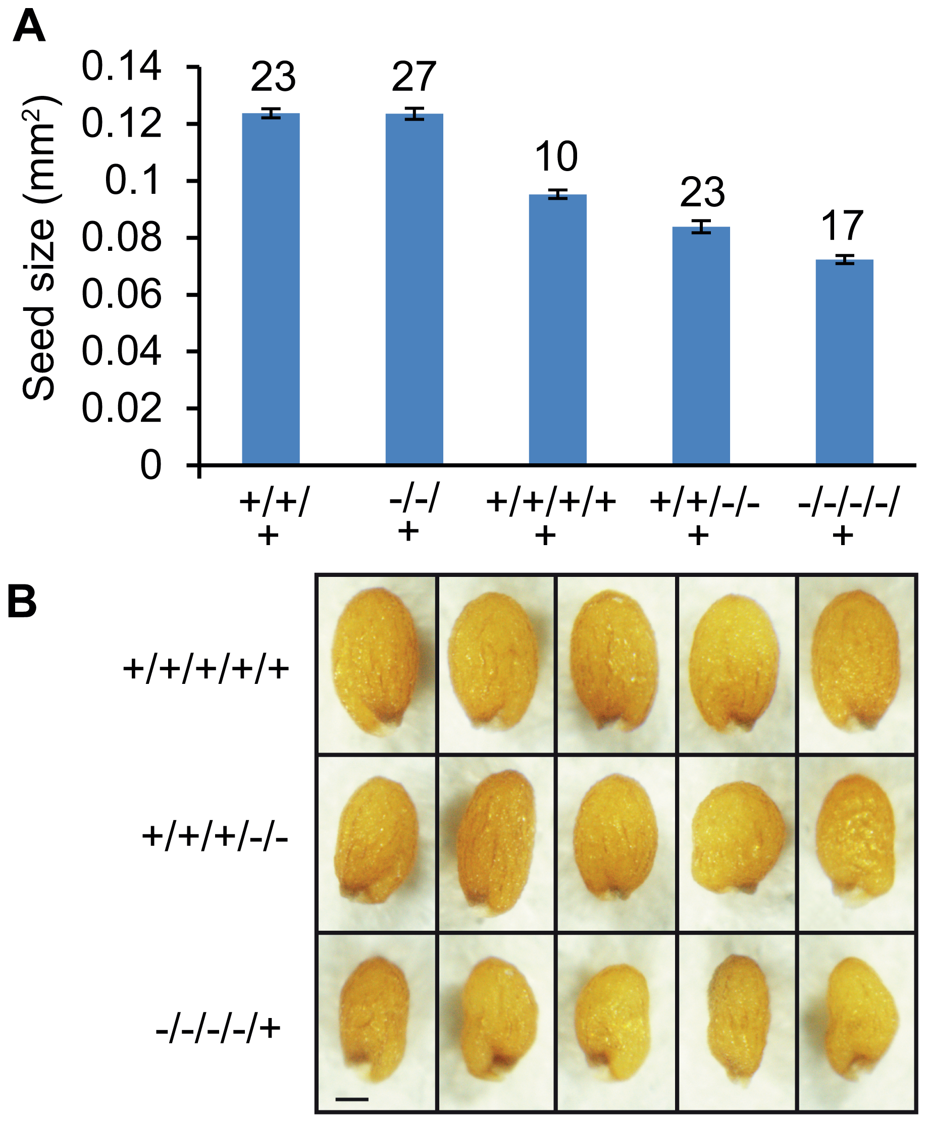 Size of Triploid Seeds Is Dependent on the Dosage of <i>AGL62</i>.