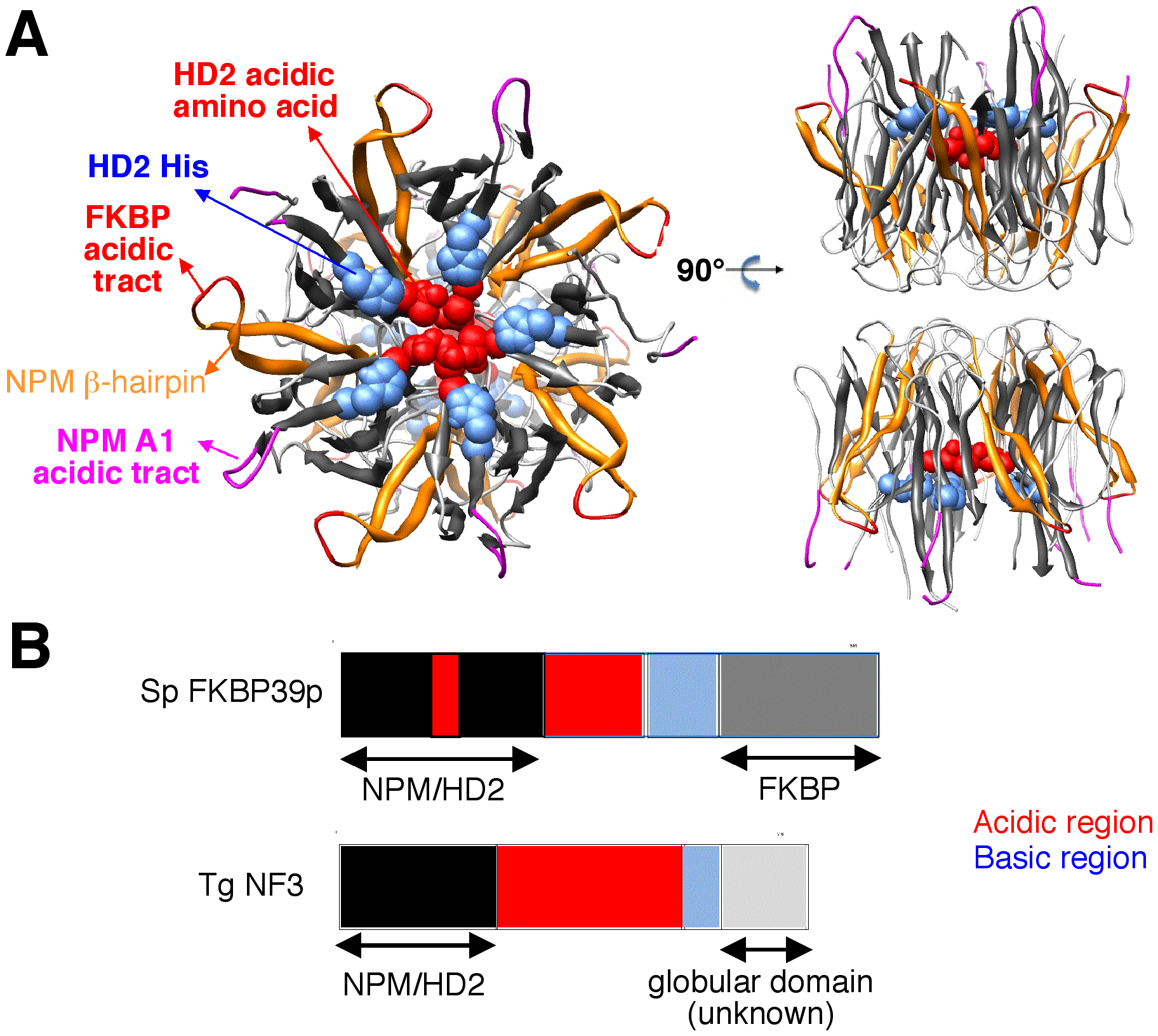 3D-structure of the NPM Np core domain, highlighting the positions of hallmarks of the NPM and HD2/nuclear FKBP/TgNF3 families.