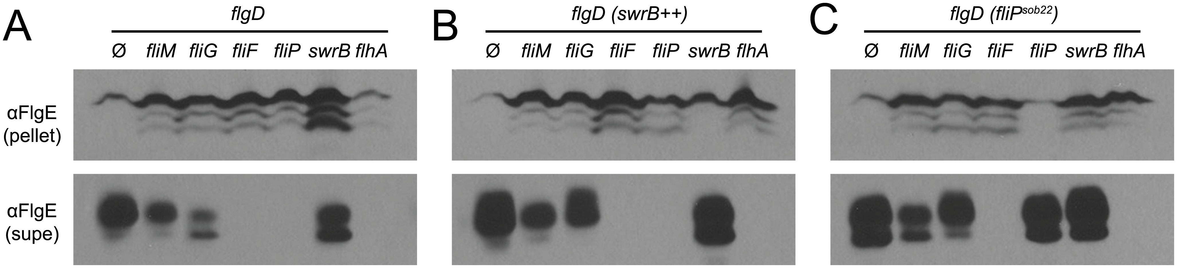 SwrB overexpression bypasses the hook protein secretion hook in cells mutated for FliM and FliG but not cells mutated for FliF.