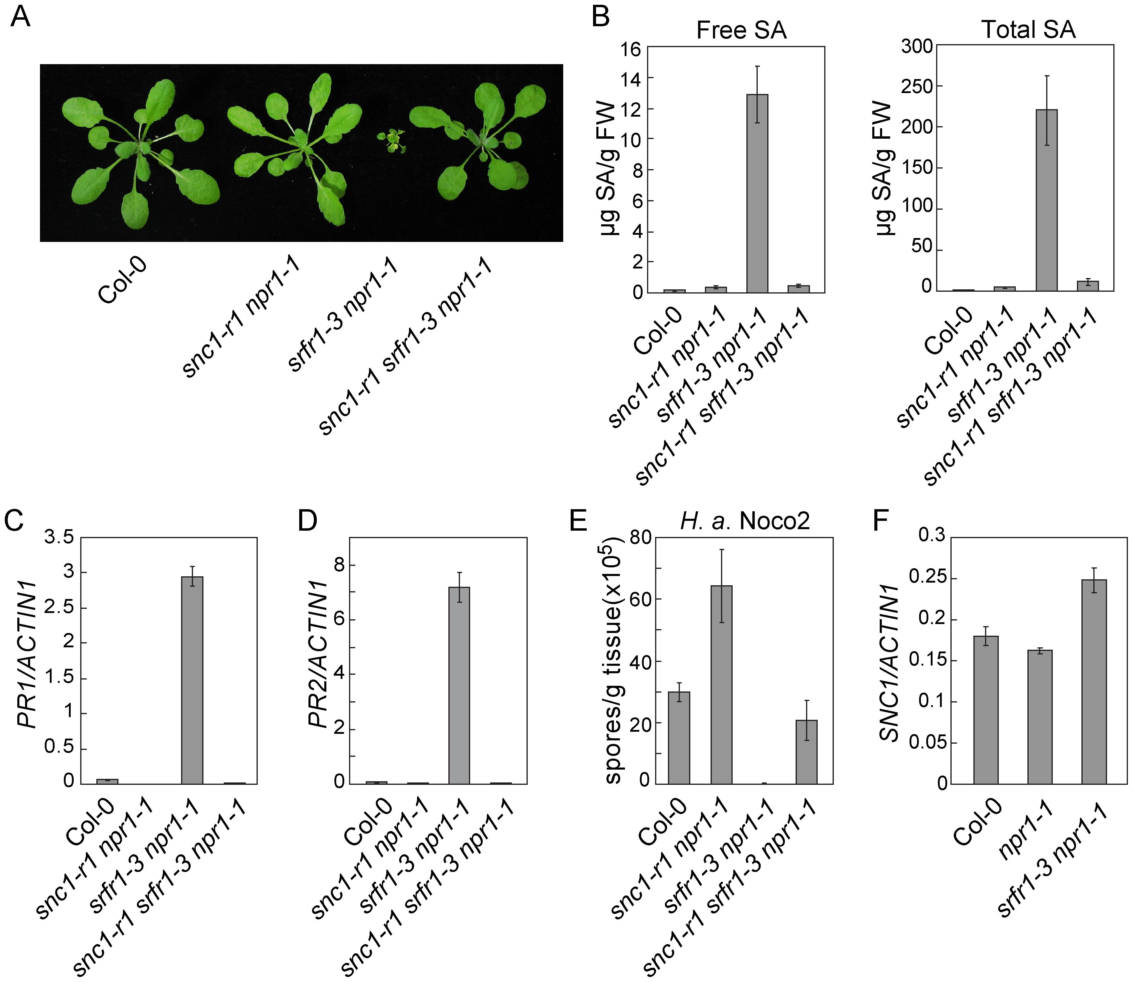 Loss of <i>SNC1</i> function suppresses constitutive defense responses in <i>snc5-1</i>/<i>srfr1-3</i>.