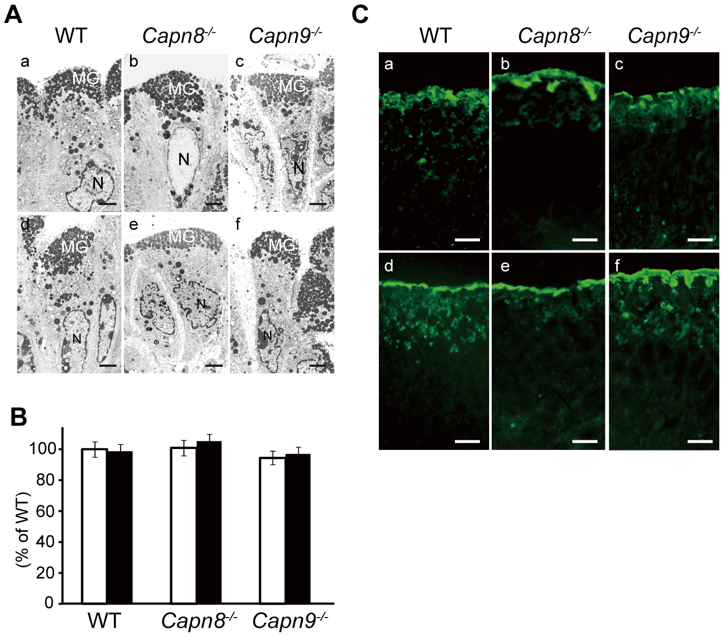Effect of calpain 8 or 9 deficiency on mucous granule formation and secretion.